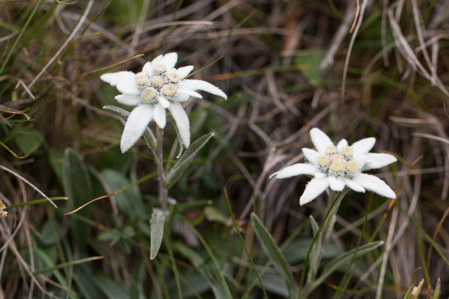 Floare de colț, Leontopodium alpinum Cass