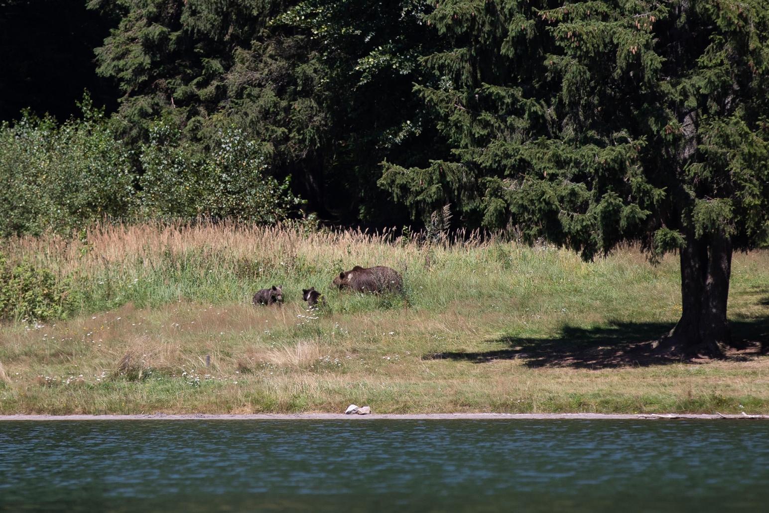 Familie de ursi in libertate