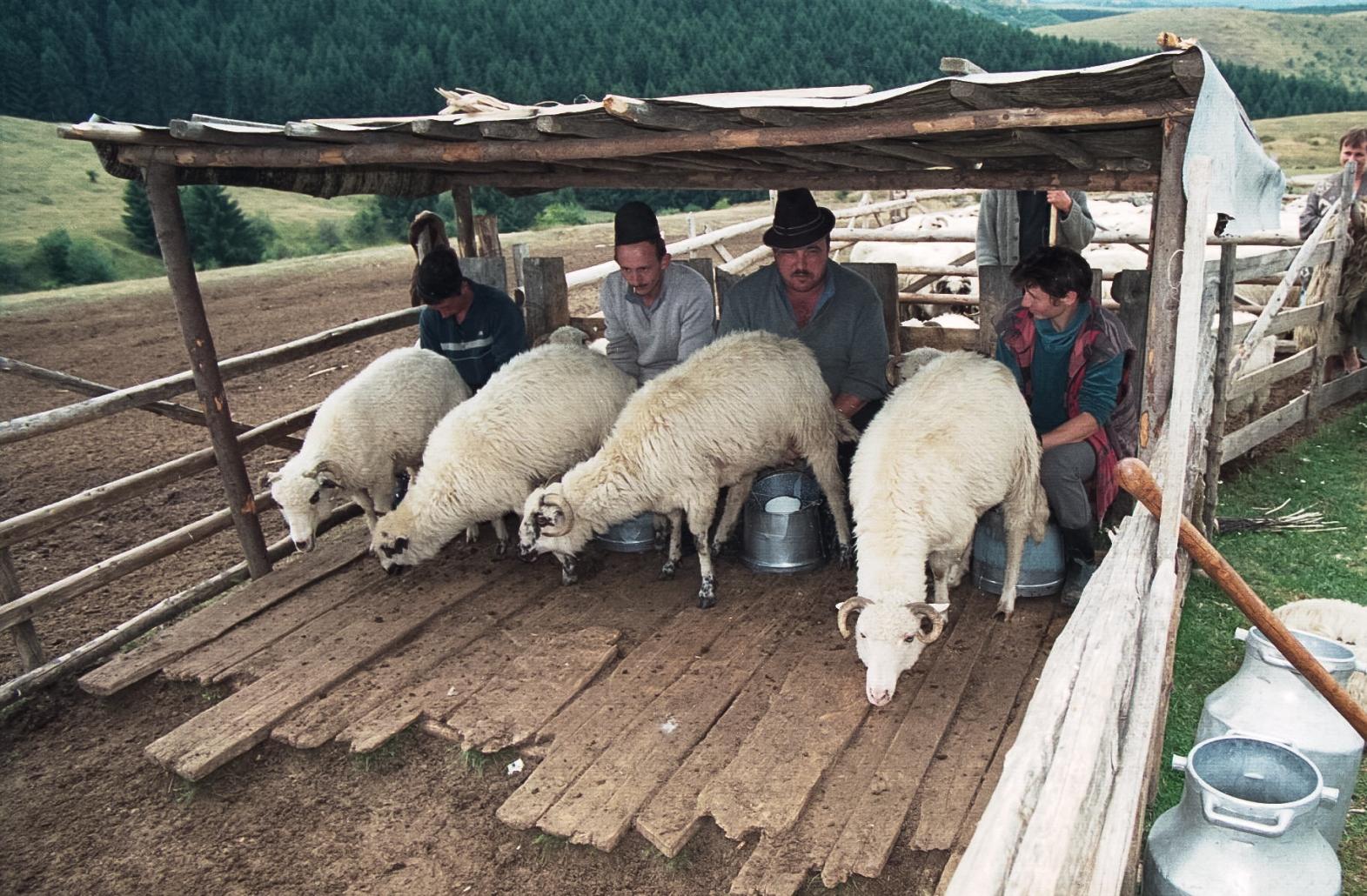 Oierit, pășunatul oilor, Sibiu