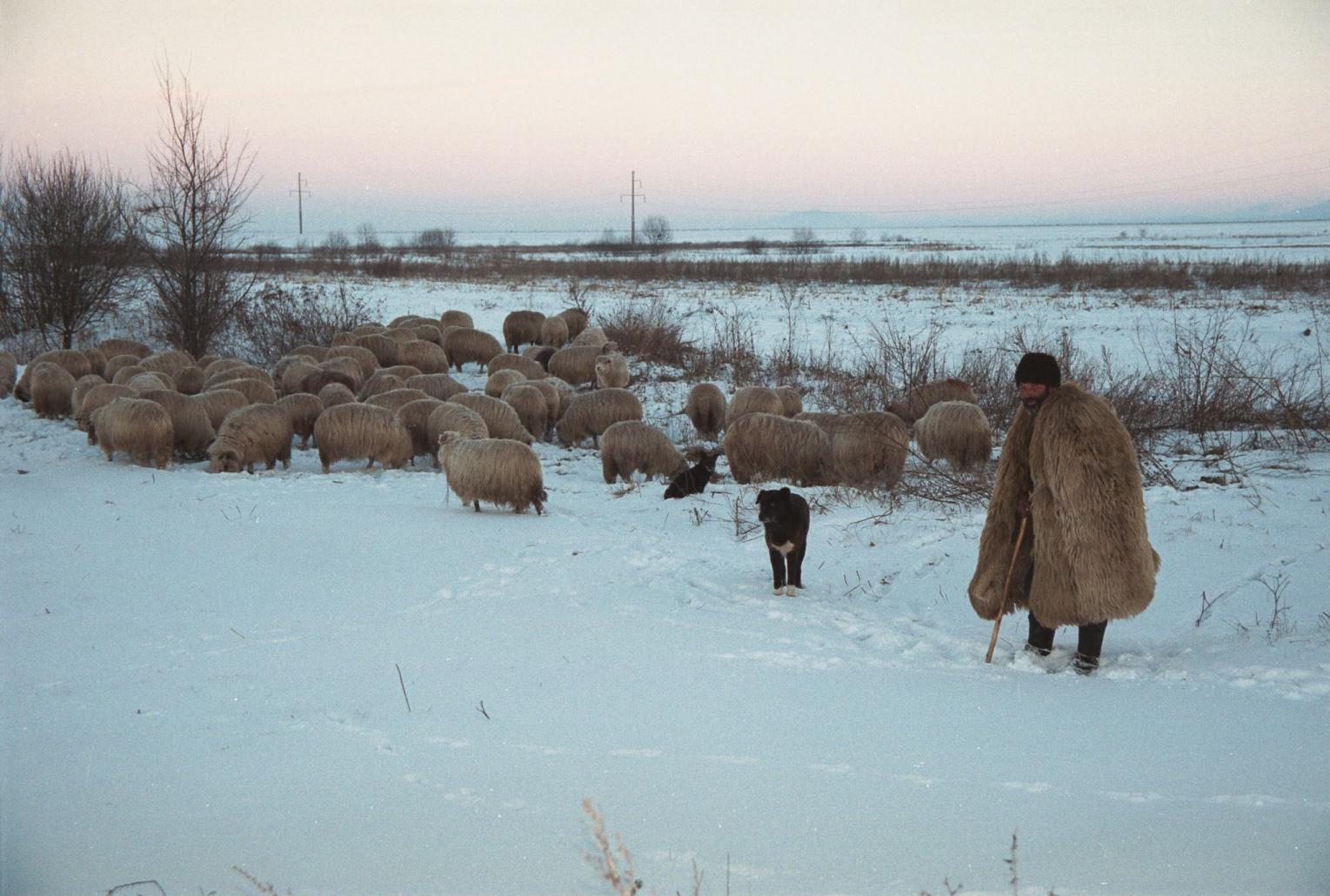 Cioban cu oile, iarna