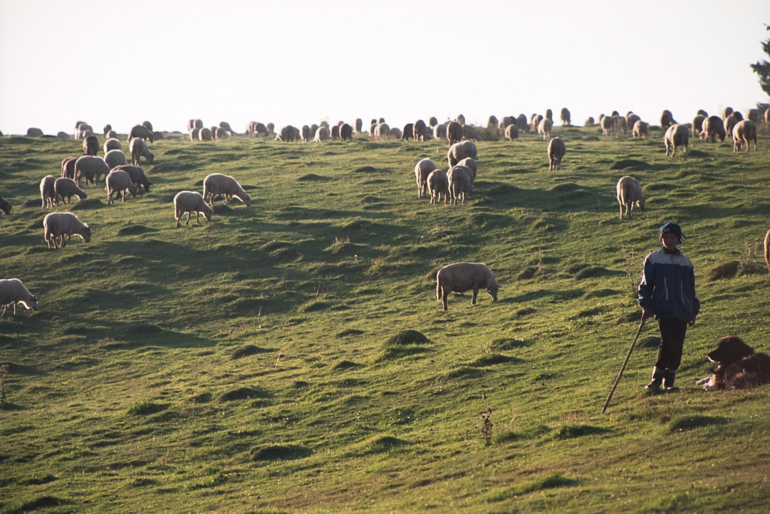 Ciobanul cu oile
