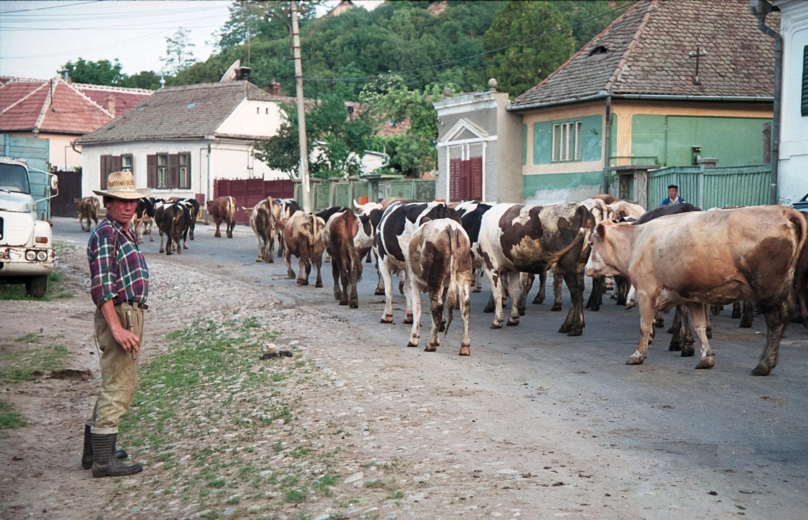 Ciurda de vaci in sat, cireadă, Sibiu
