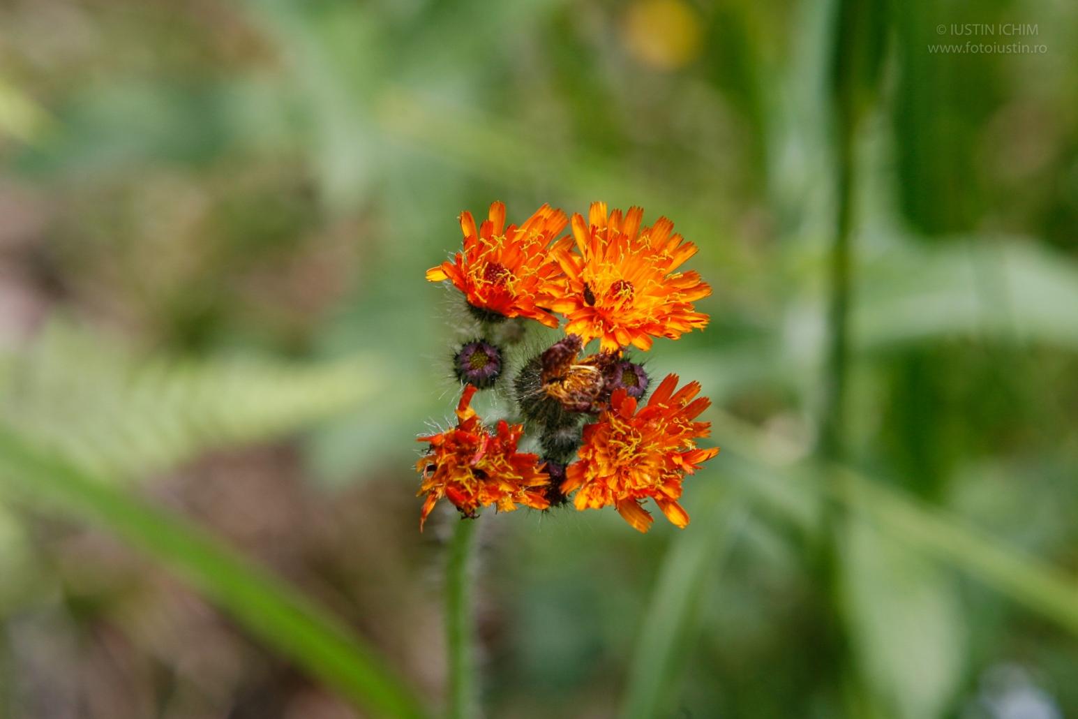 Rușuliță, Hieracium aurantiacum sau Pilosella aurantiaca