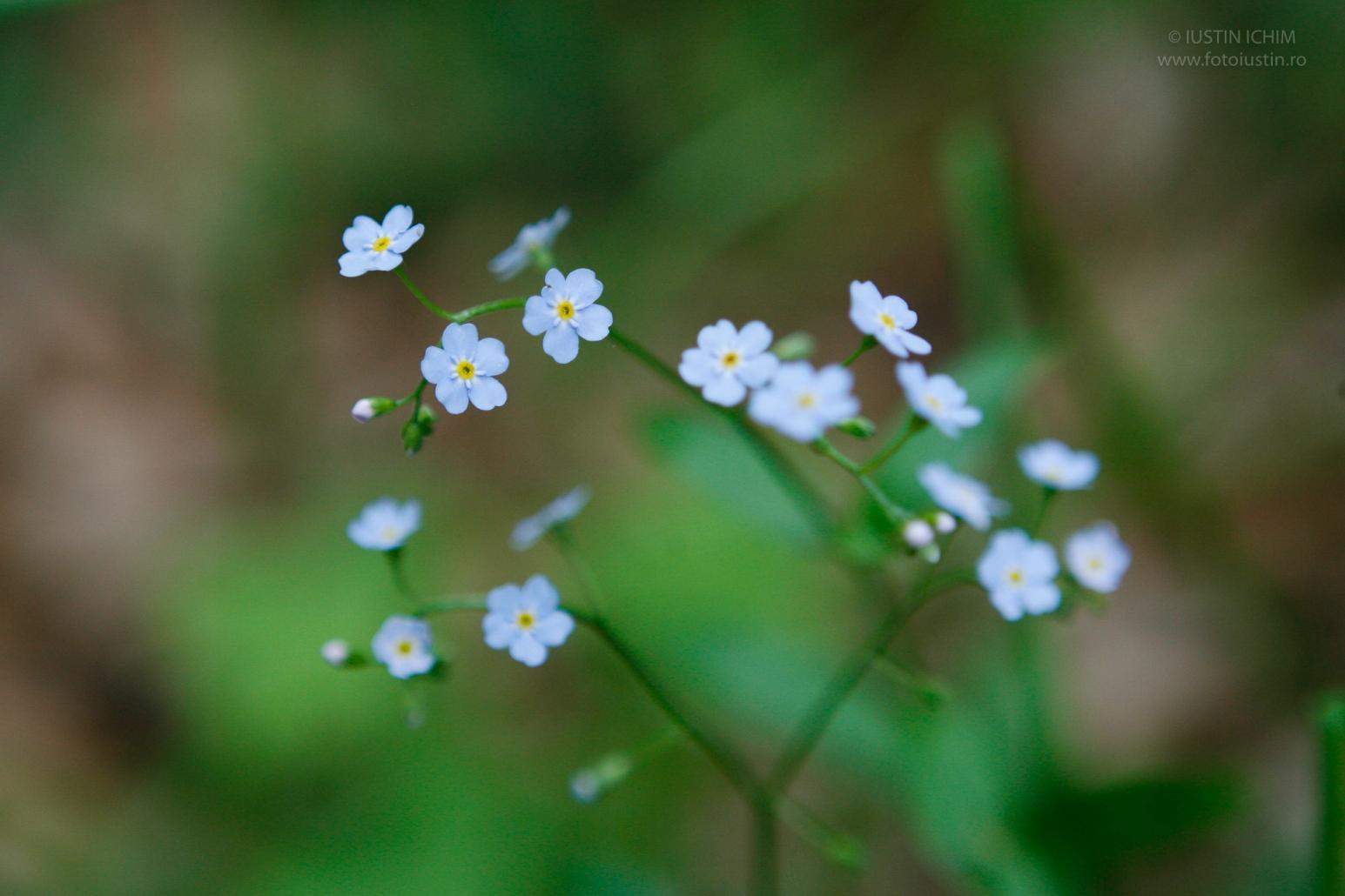 Nu-mă-uita, Myosotis, fam. Boraginaceae