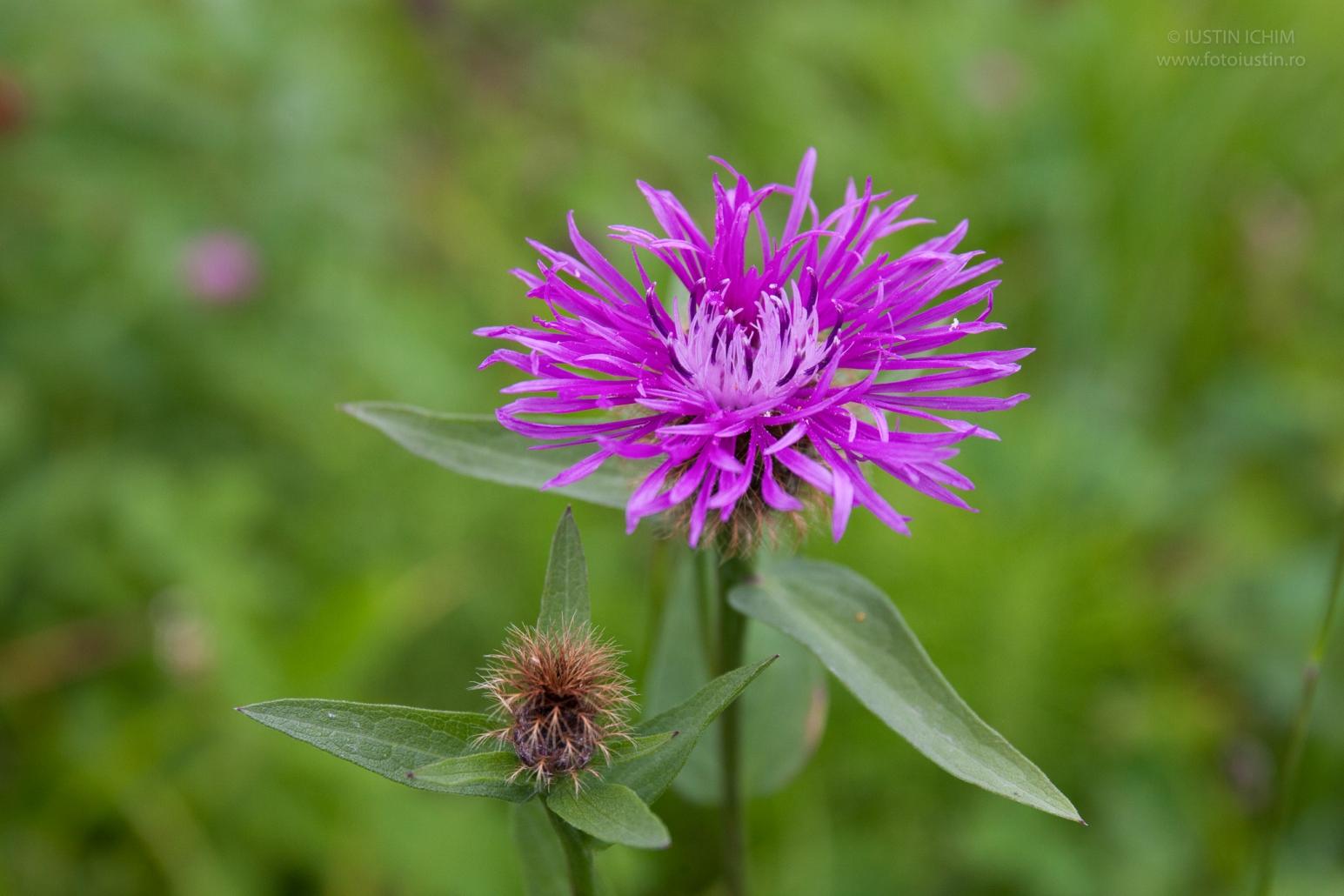 Centaurea sp. flora spontana