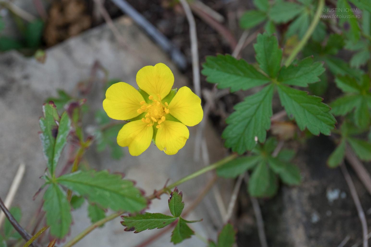 Potentilla sp. flora spontana