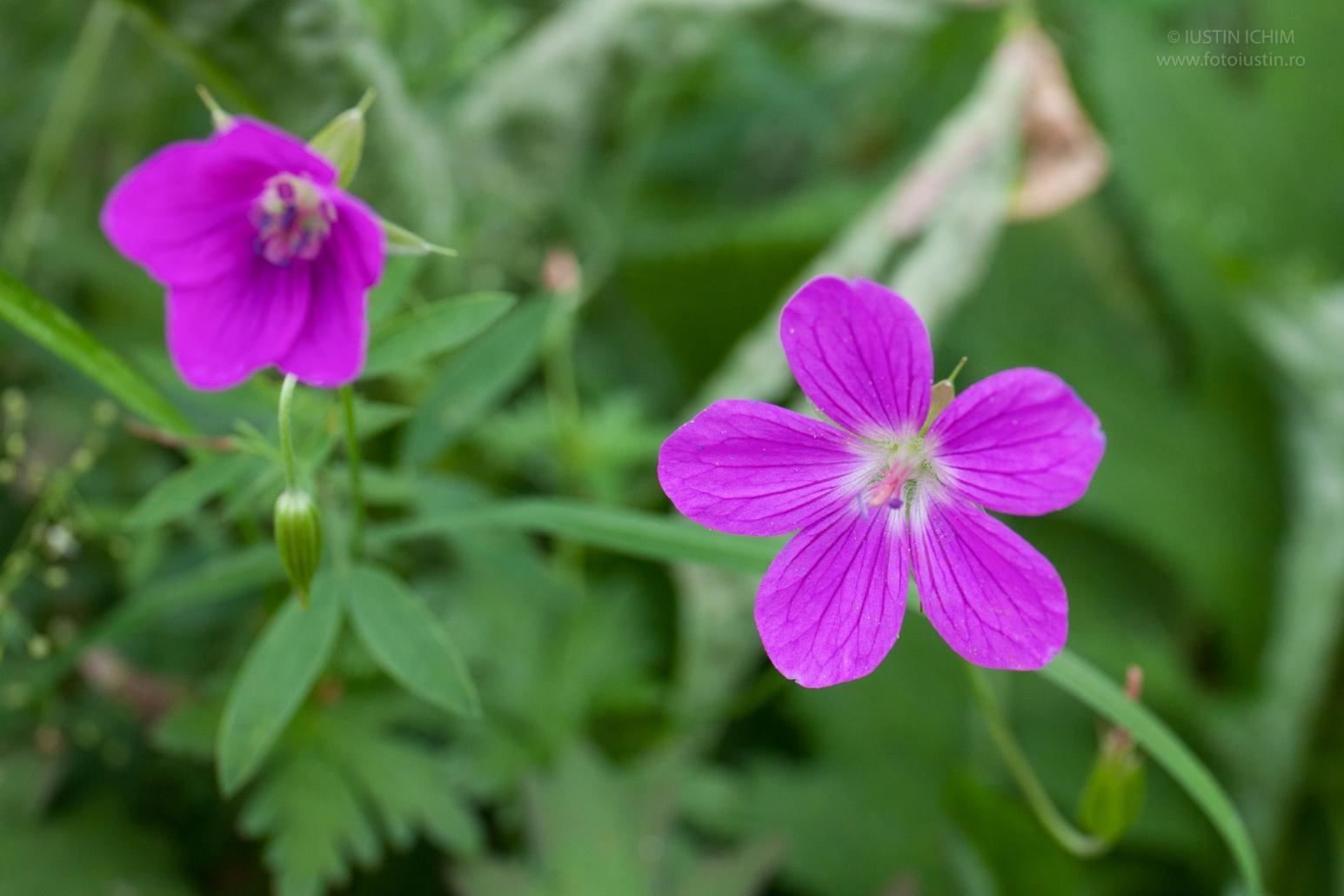 Flori Sălbatice Flora Spontană A Romaniei Foto Atlas Web