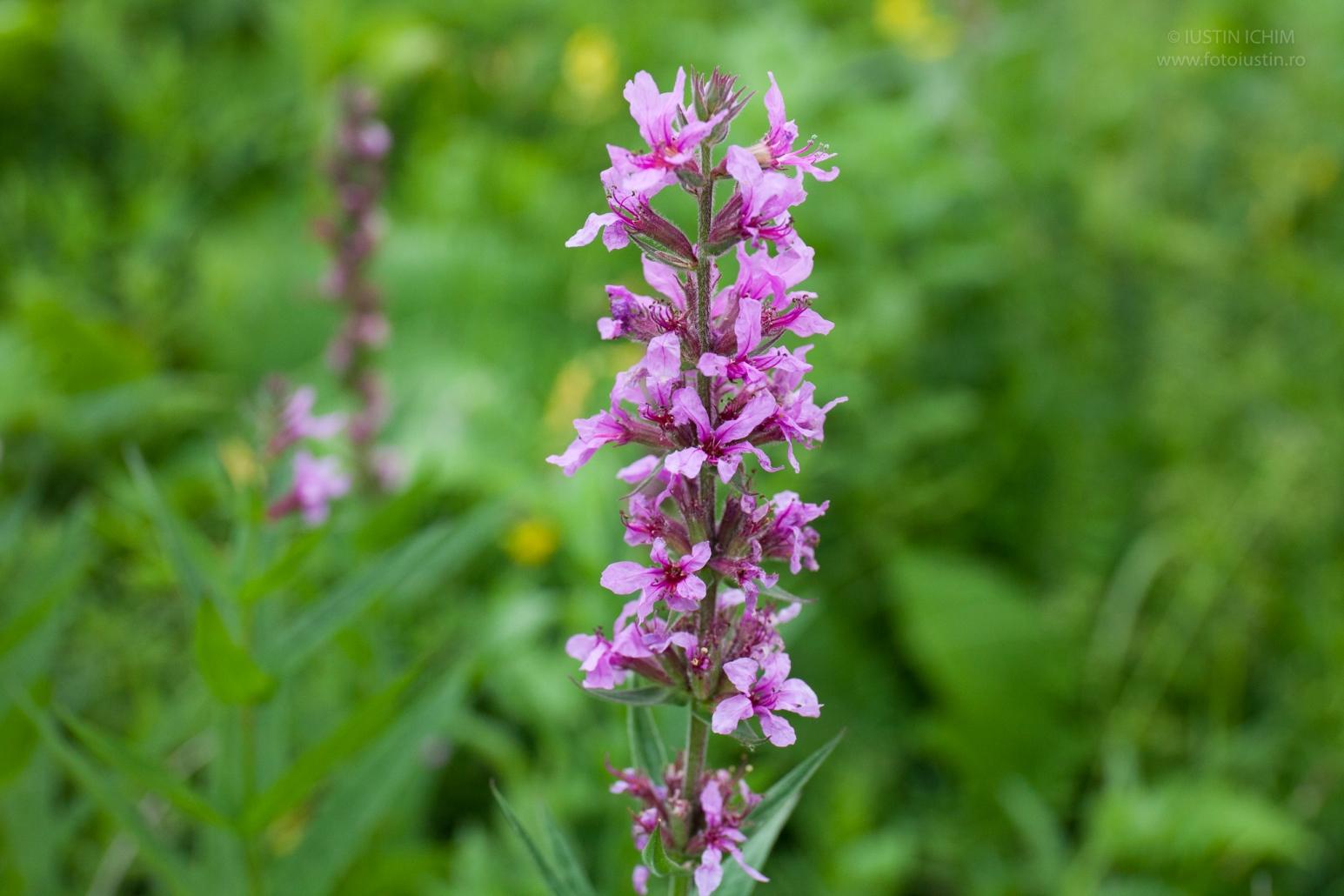 Răchițan, Lithrum salicaria, familia Lythraceae. Plante medicinale. Floarea zânei, călbușoară, lemnie, lemnușcă.