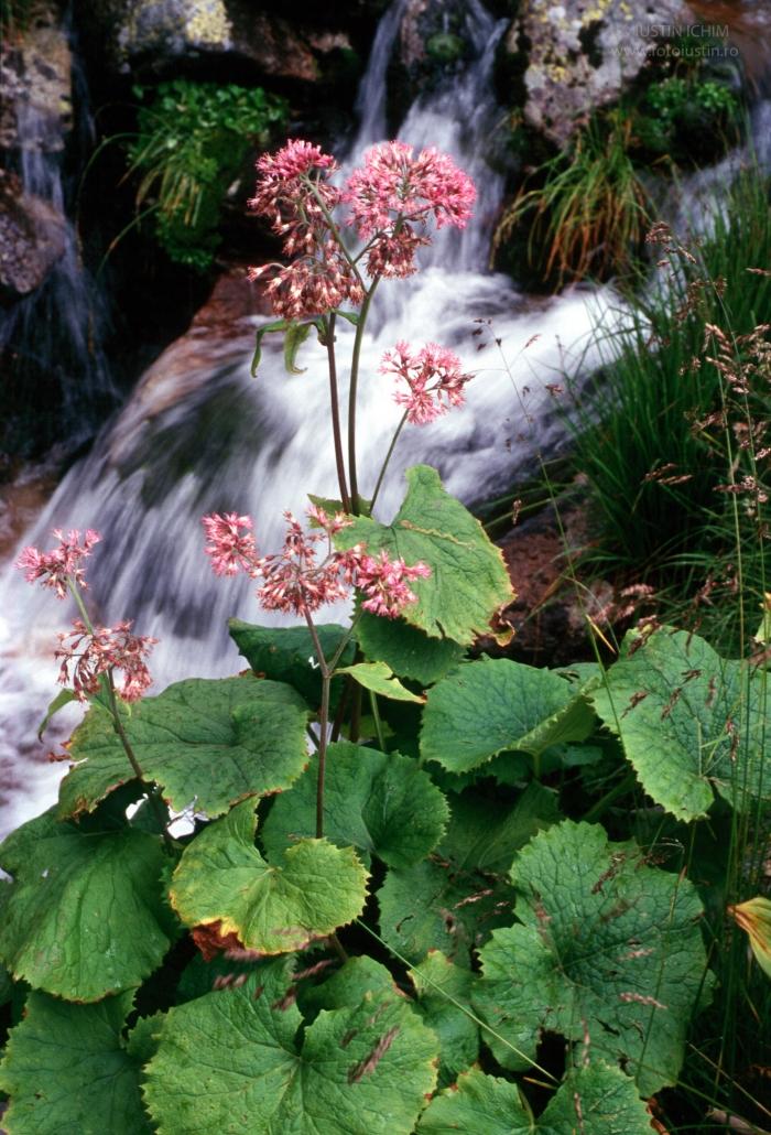 Adenostyles alliariae, Ciucuraş. Zona Munții Retezat.