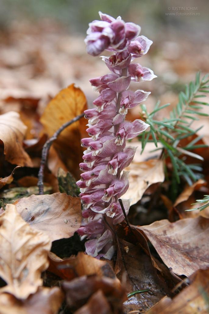Muma pădurii, Lathreaea squamaria, familia Orobanchaceae, plantă parazită
