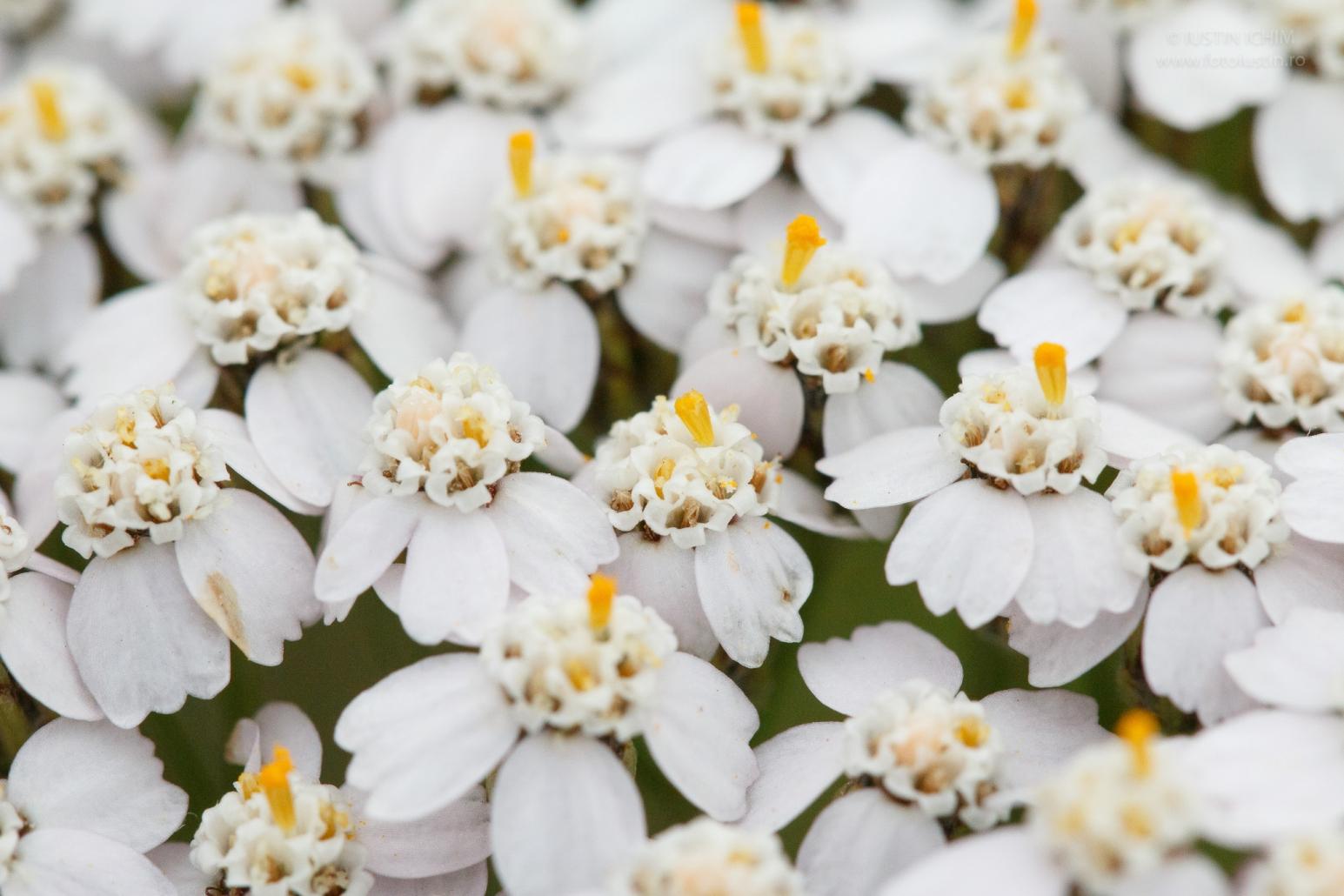 Coada șoricelului, Achillea millefolium, fam. Asteraceae, plantă medicinală.