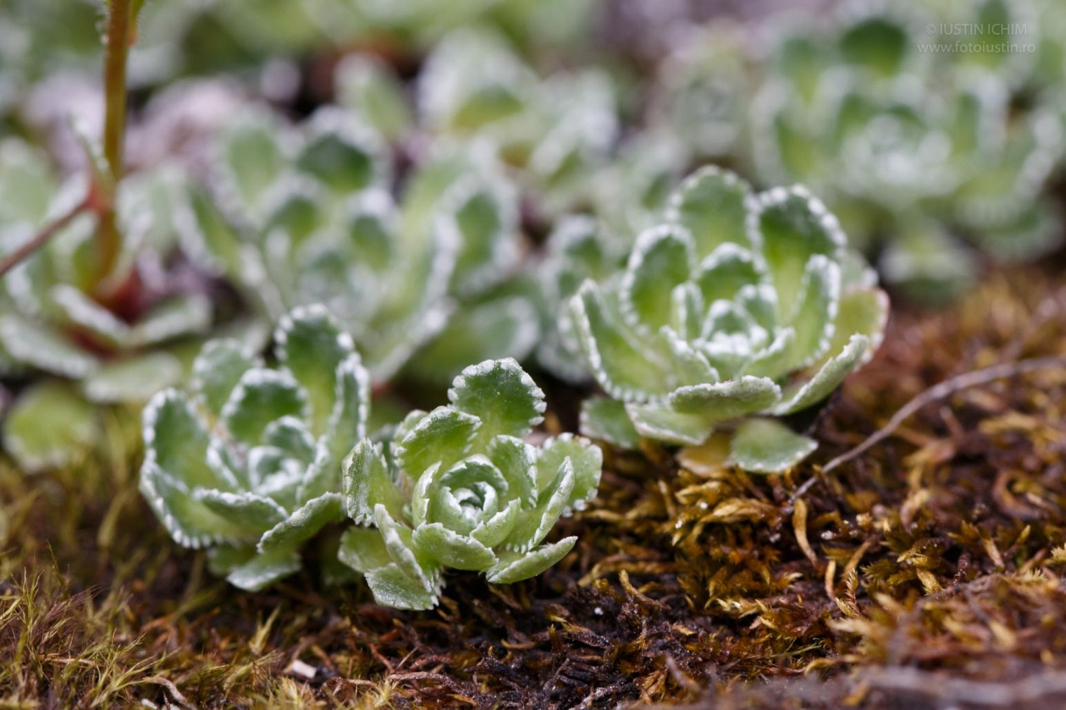 Saxifraga paniculata, Iarba surzilor, fam. Saxifragaceae