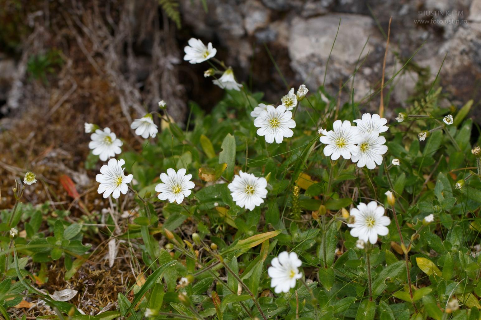 Cerastium alpinum, Cornuț, fam. Caryophyllaceae