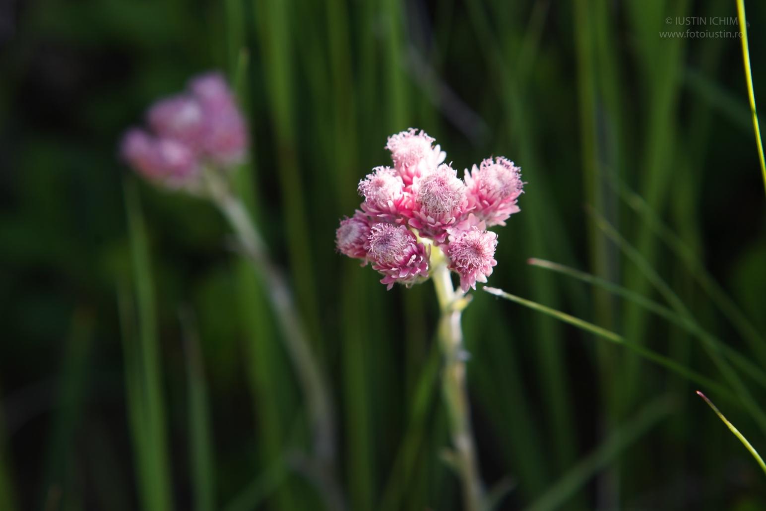 Talpa mâţei, Antennaria dioica, Fam. Asteraceae