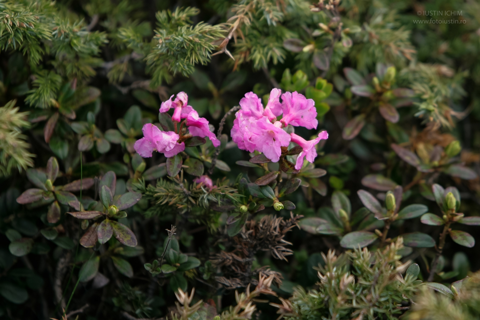Rhododendron myrtifolium, Smârdar, Bujorul de munte, fam. Ericaceae