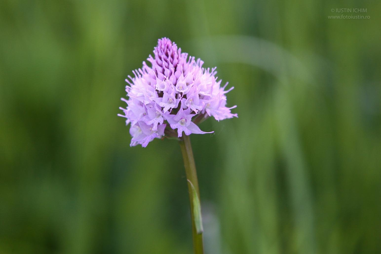 Traunsteinera globosa, orhidee in Romania, fam. Orchidaceae