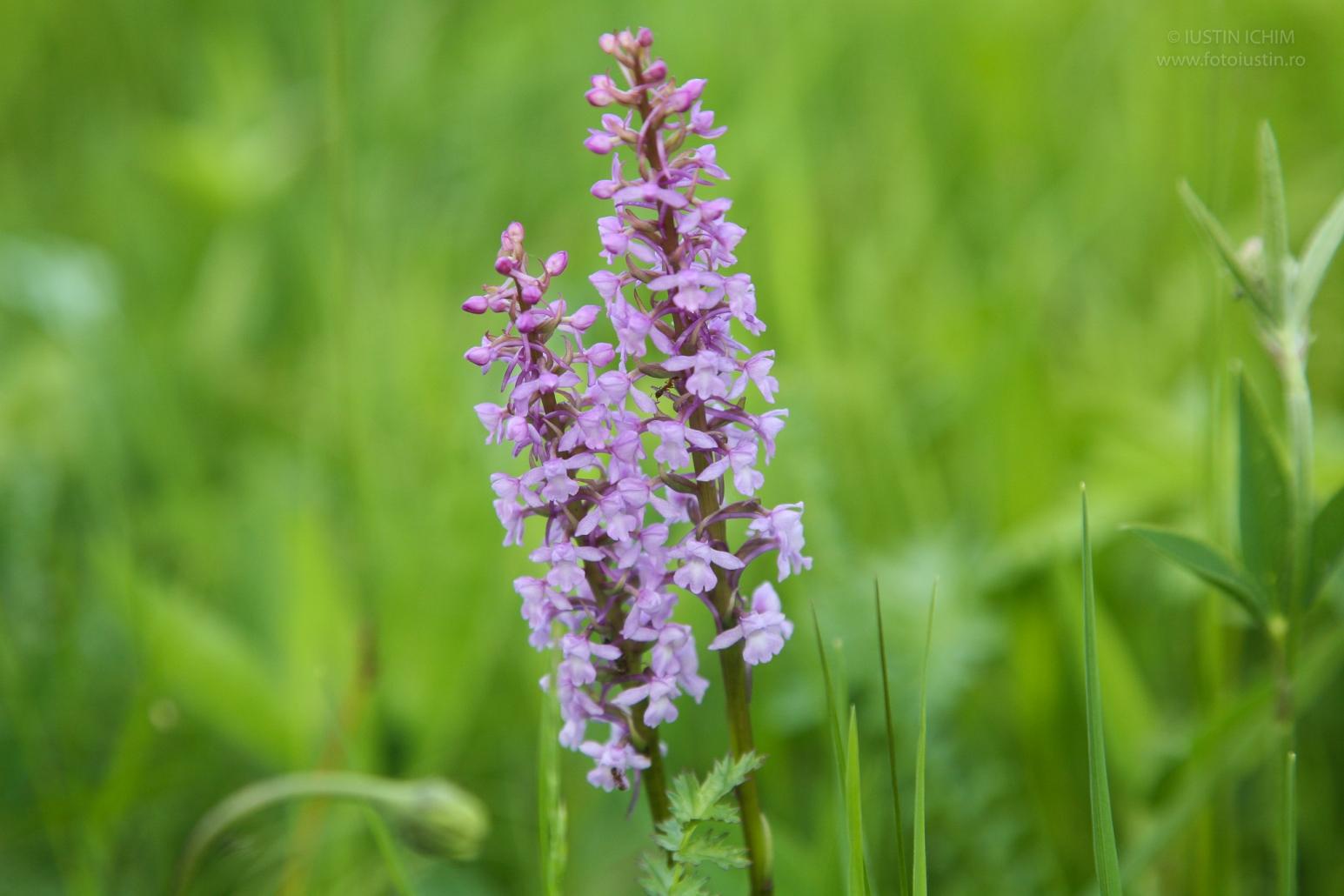 Gymnadenia conopsea, Ură, orhidee in Romania, fam. Orchidaceae
