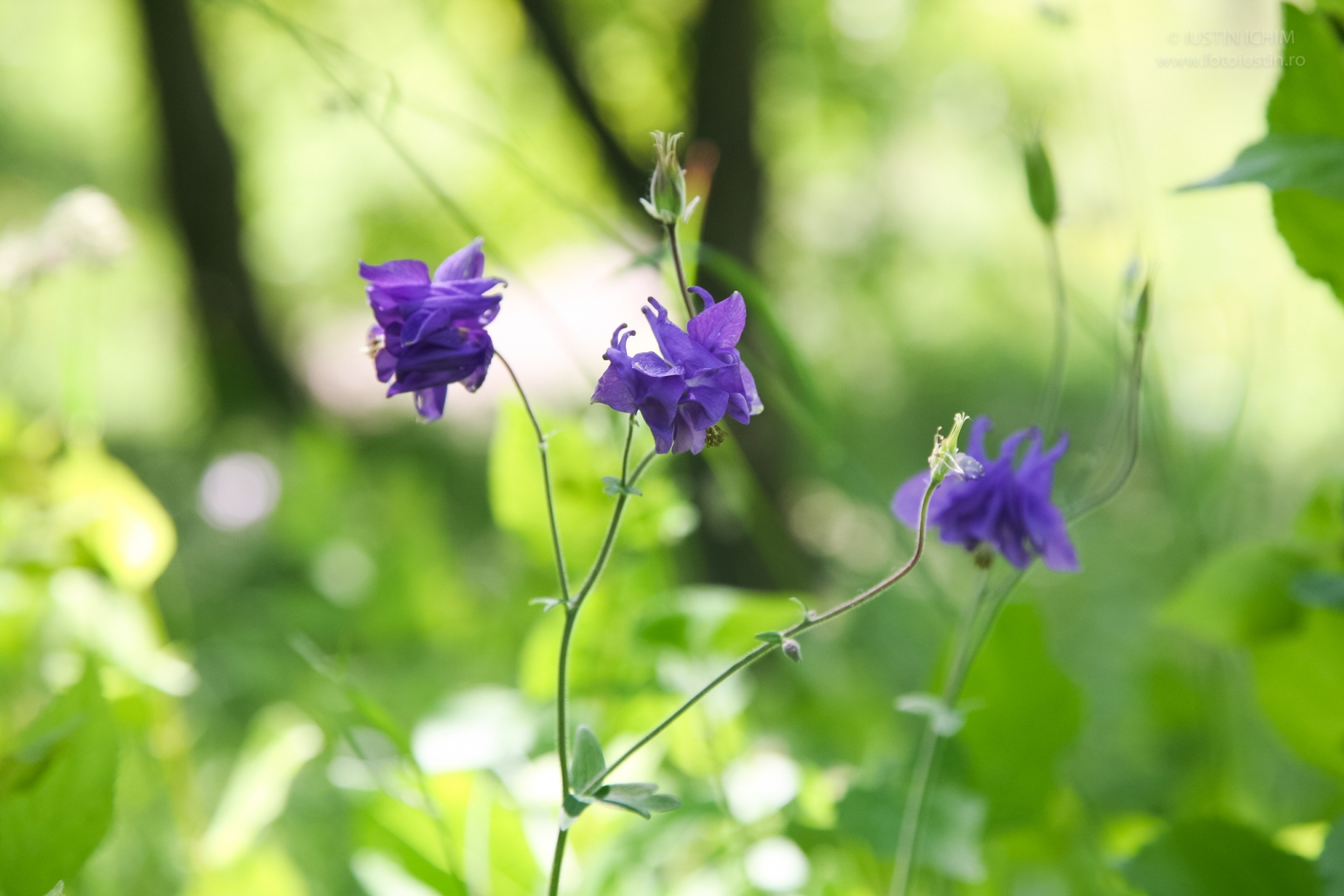 Aquilegia vulgaris, căldărușă, columbine, fam. Ranunculaceae
