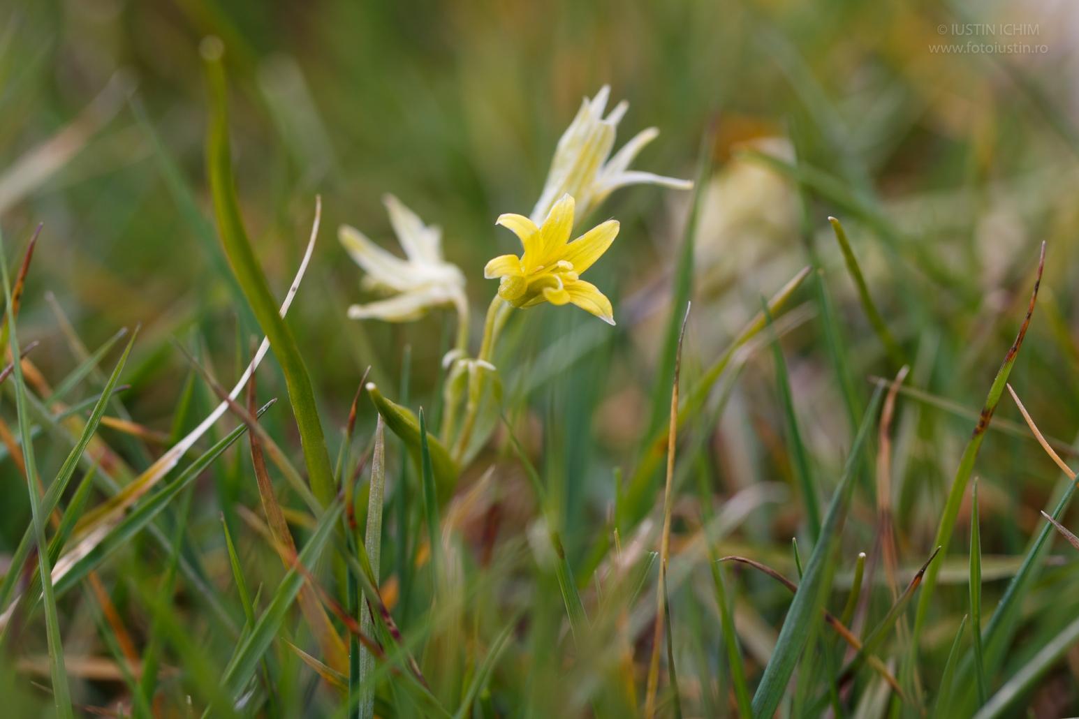 Gagea pratensis, ceapa-ciorii, fam. Liliaceae
