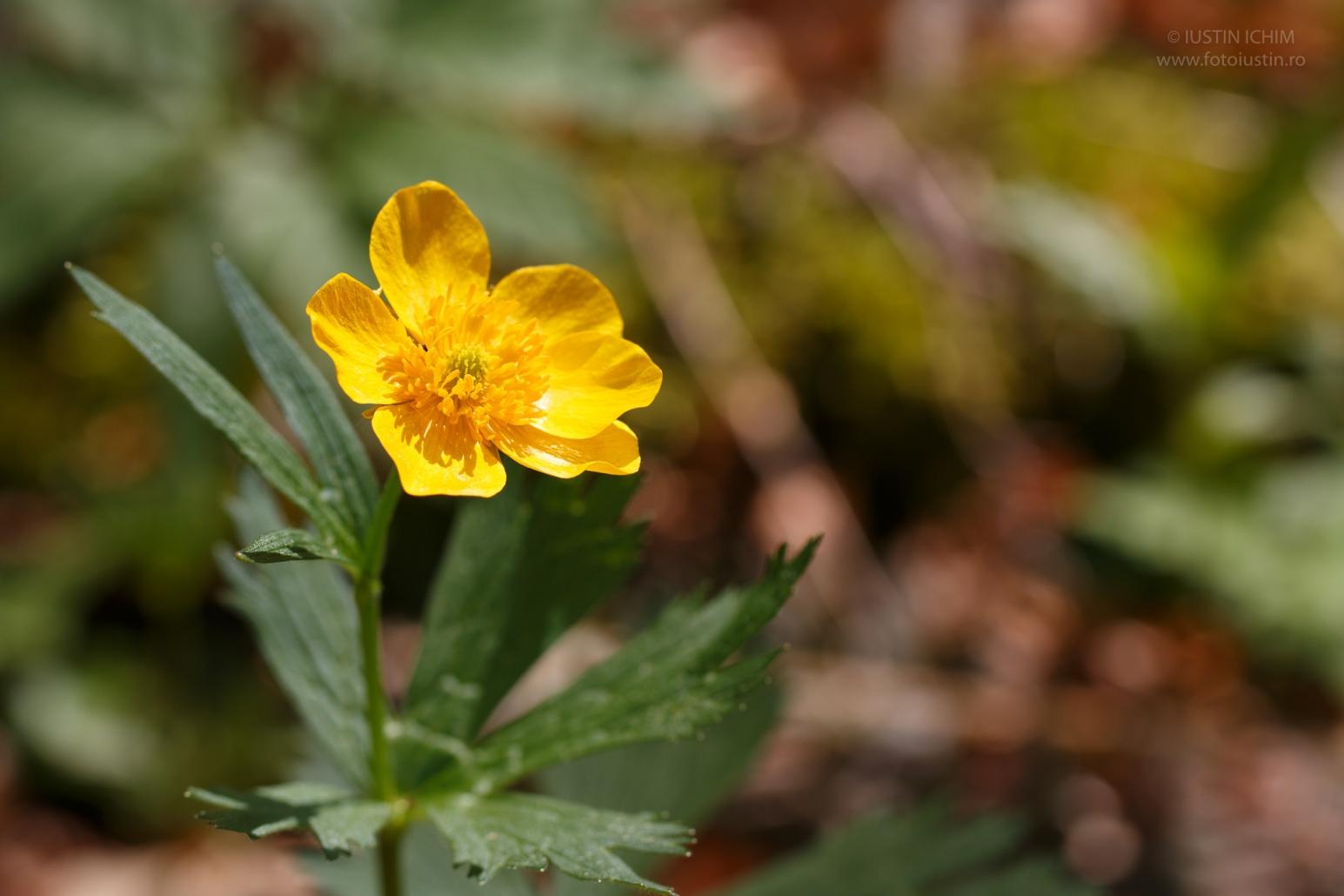 Ranunculus montanus, Piciorul cocoșului de munte, fam. Ranunculaceae