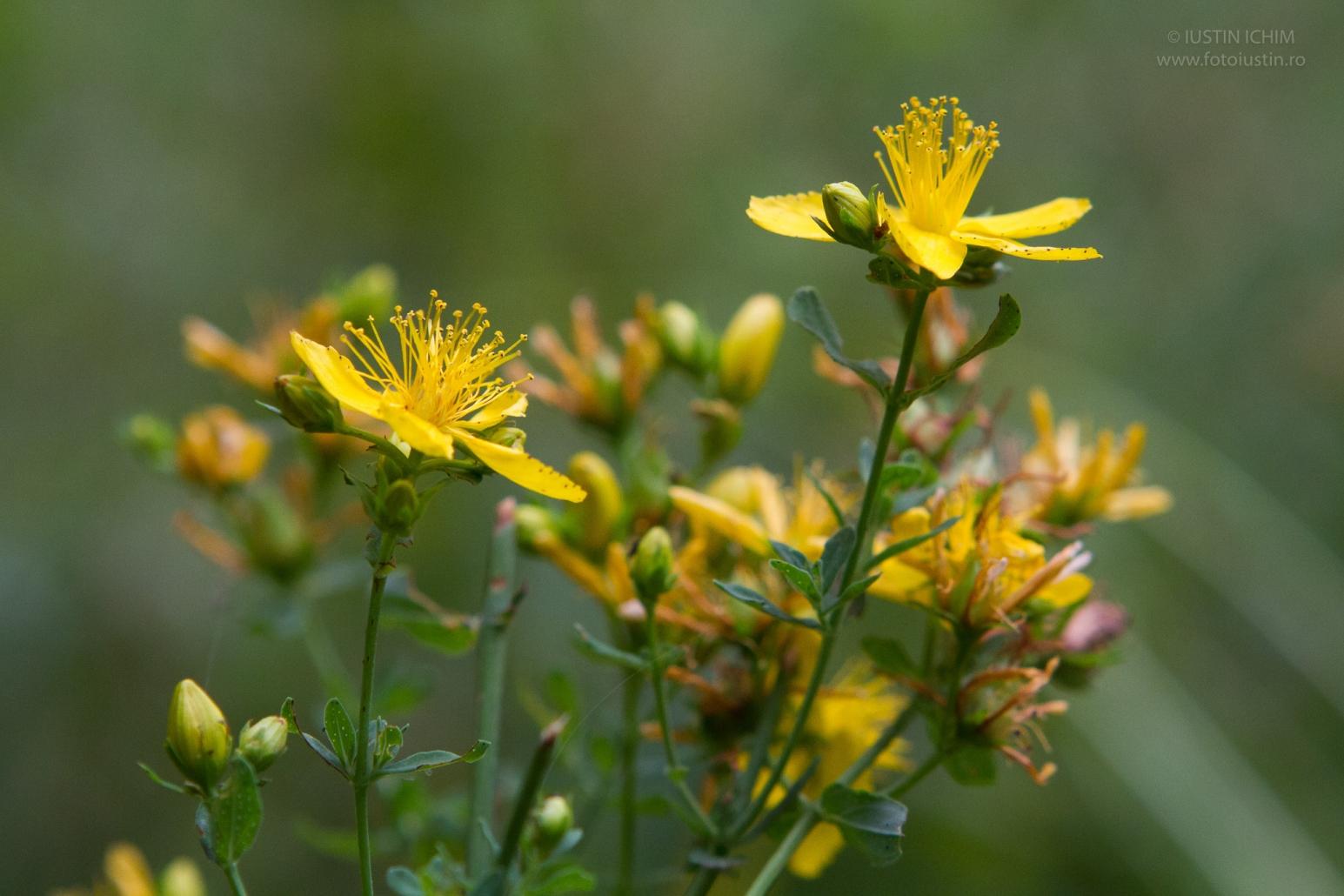 Sunătoarea, Hypericum perforatum, pojarniță, fa. Hypericaceae, plantă medicinală