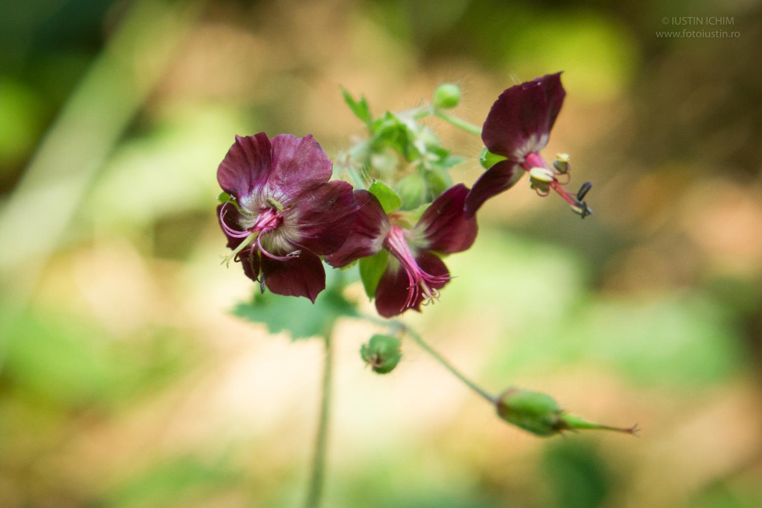 Geranium phaeum, Pălăria-cucului, fam. Geraniaceae