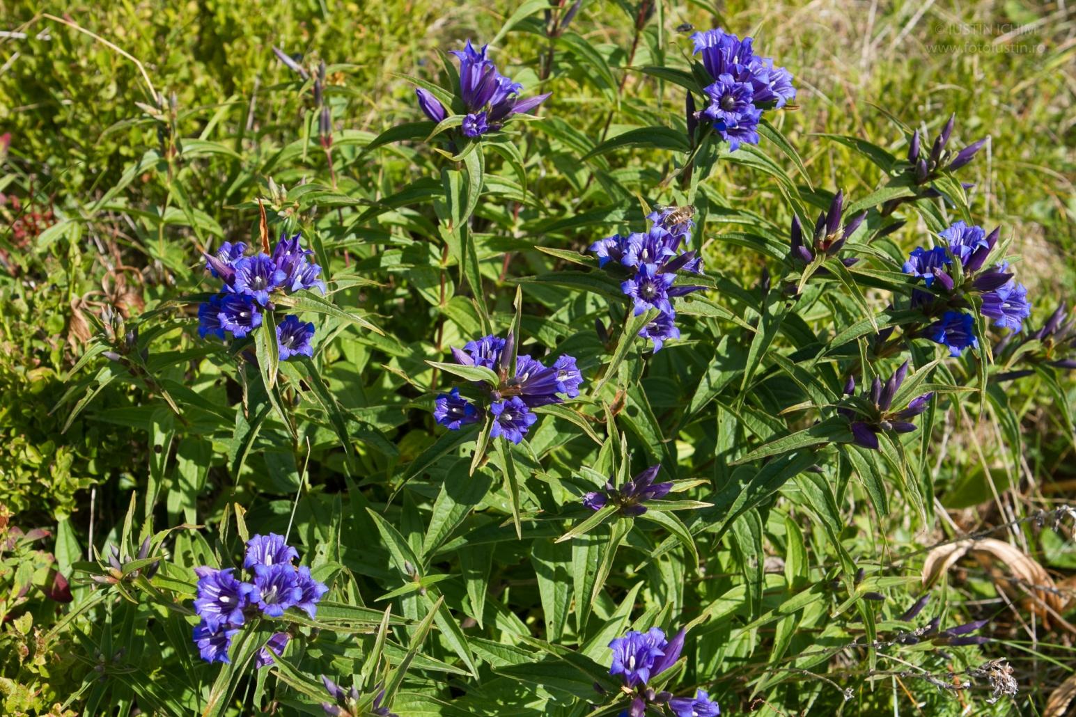 Gentiana asclepiadea, Ghintura, Lumânărica pământului, plantă medicinală