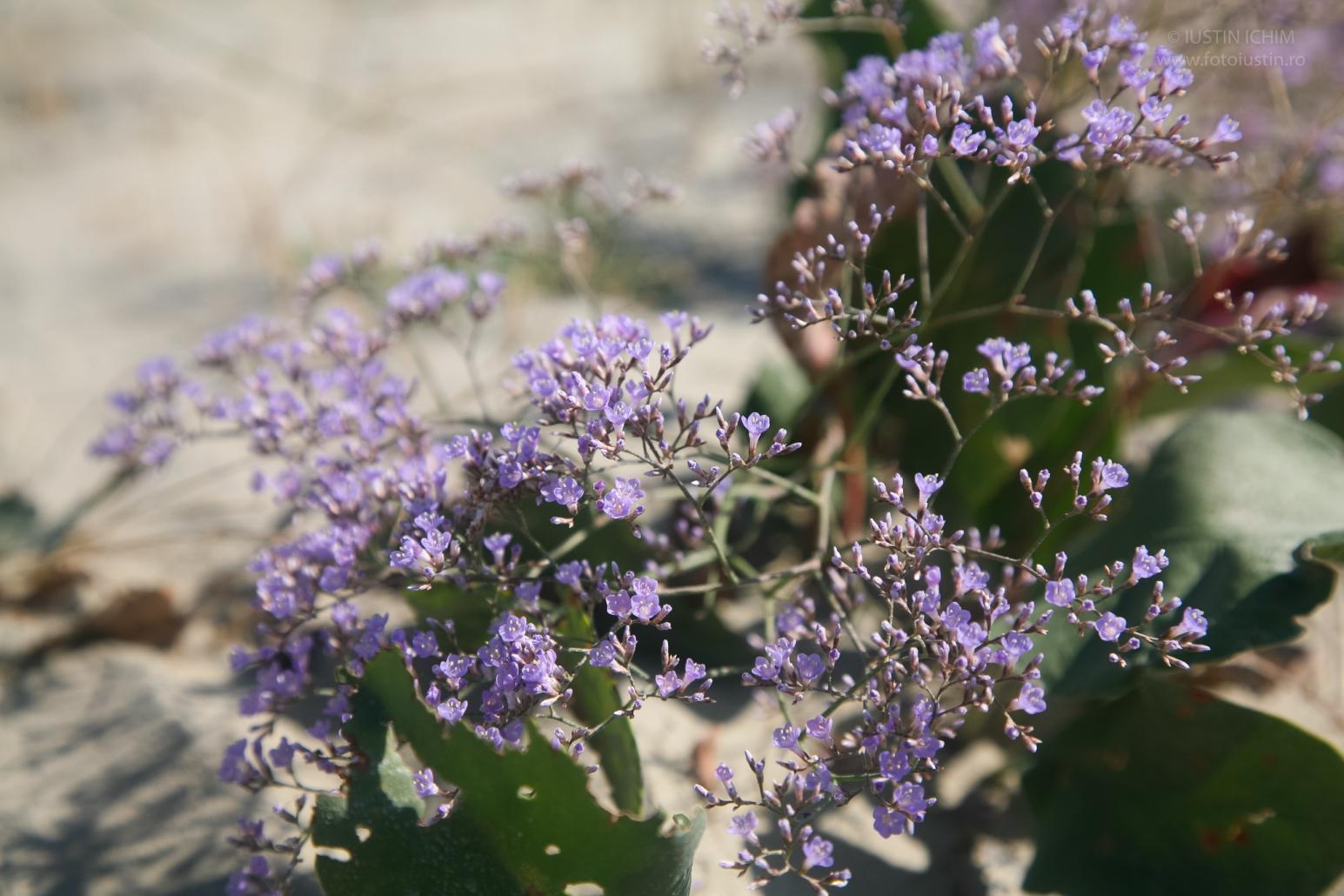 Limonium sp. Lavandă Mare, fam. Plumbaginaceae. Delta Dunarii