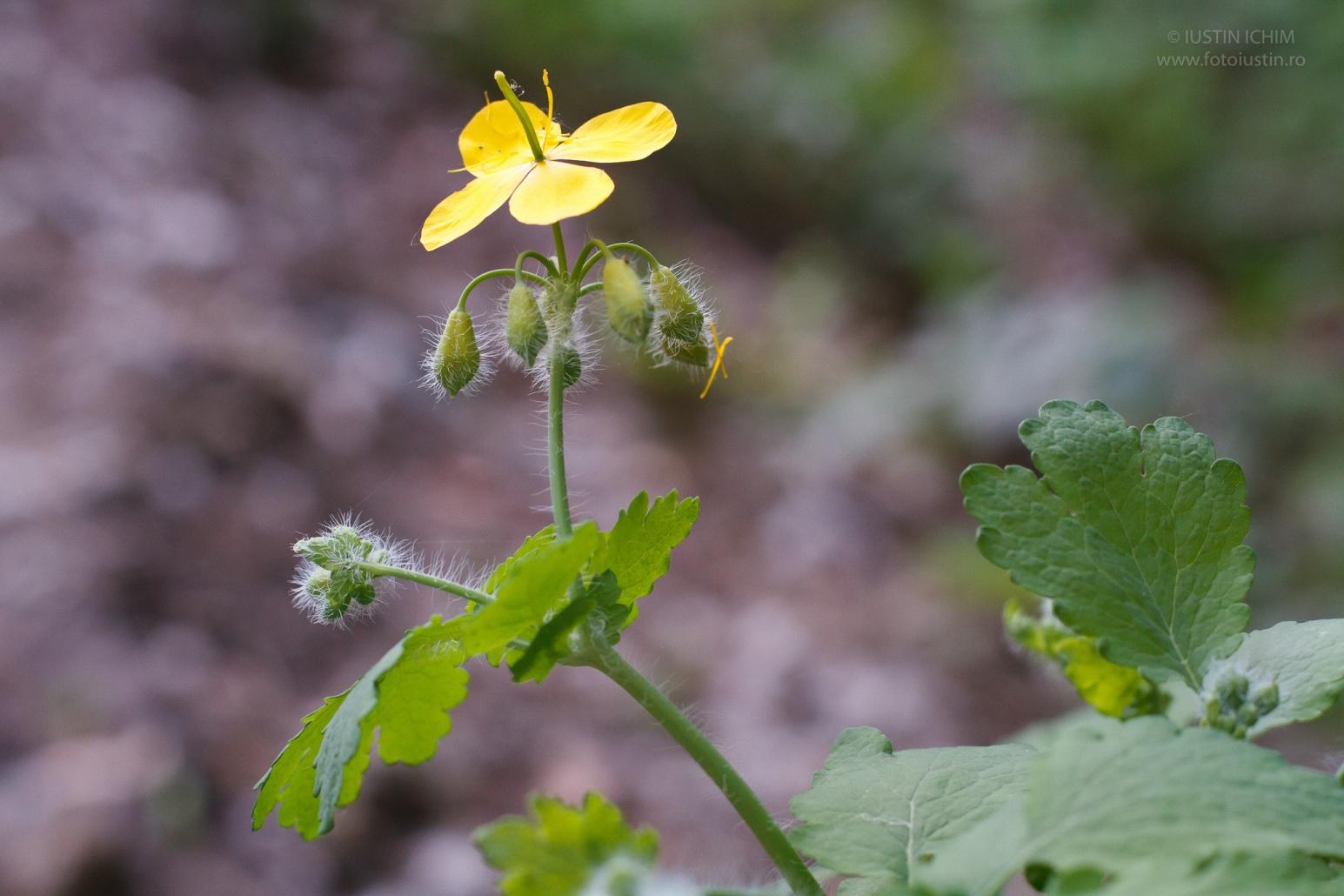 Chelidonium majus, Rostopasca, fam. Papaveraceae, iarbă de negi