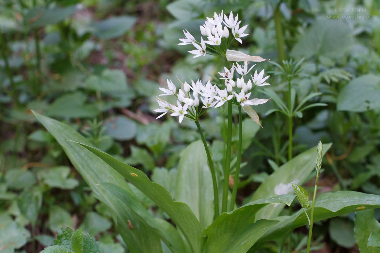 Allium ursinum, Leurda, fam. Alliaceae, planta comestibila