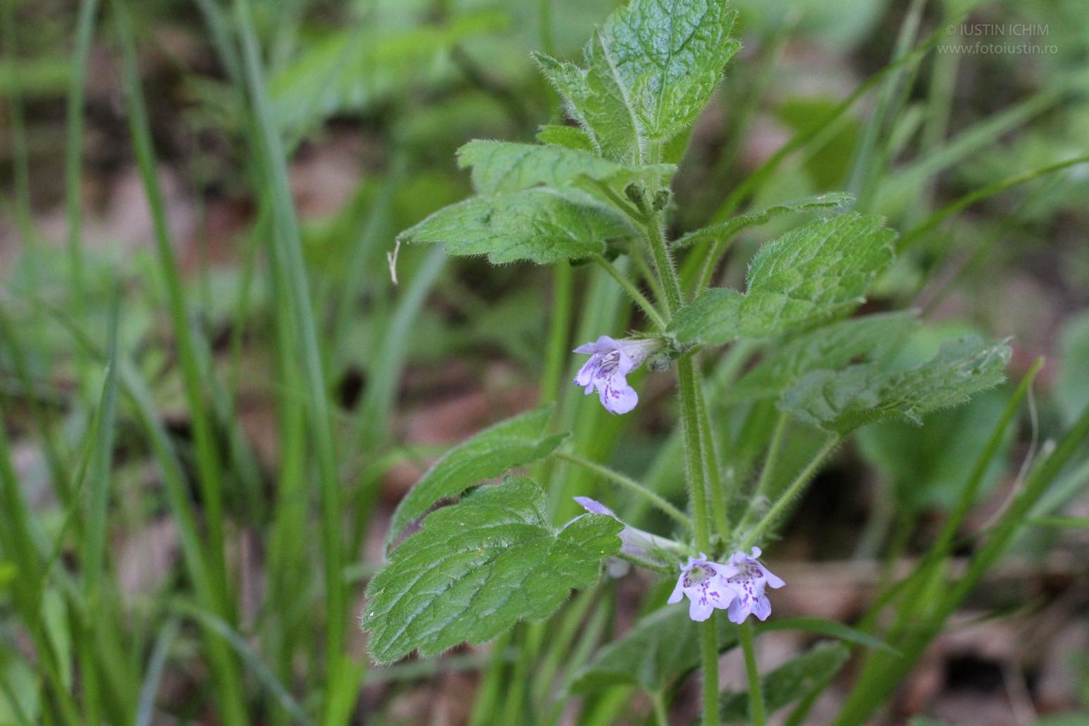 Glechoma hederacea, Rotunjoara, fam. Lamiaceae