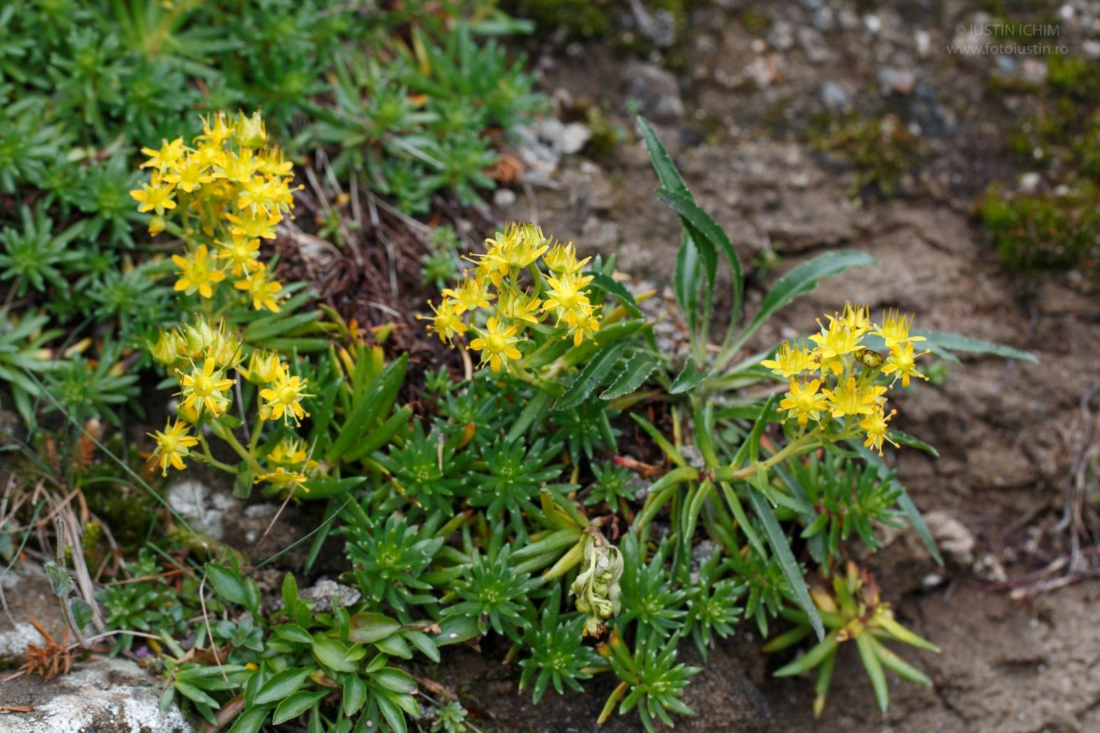 Saxifraga aizoides, fam. Saxifragaceae