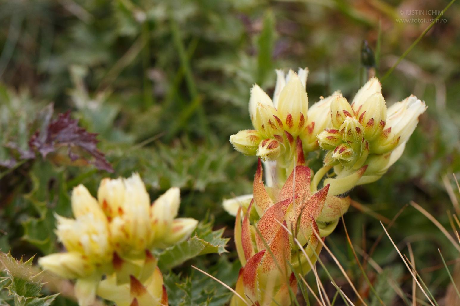 Jovibarba globifera, fam. Crassulaceae