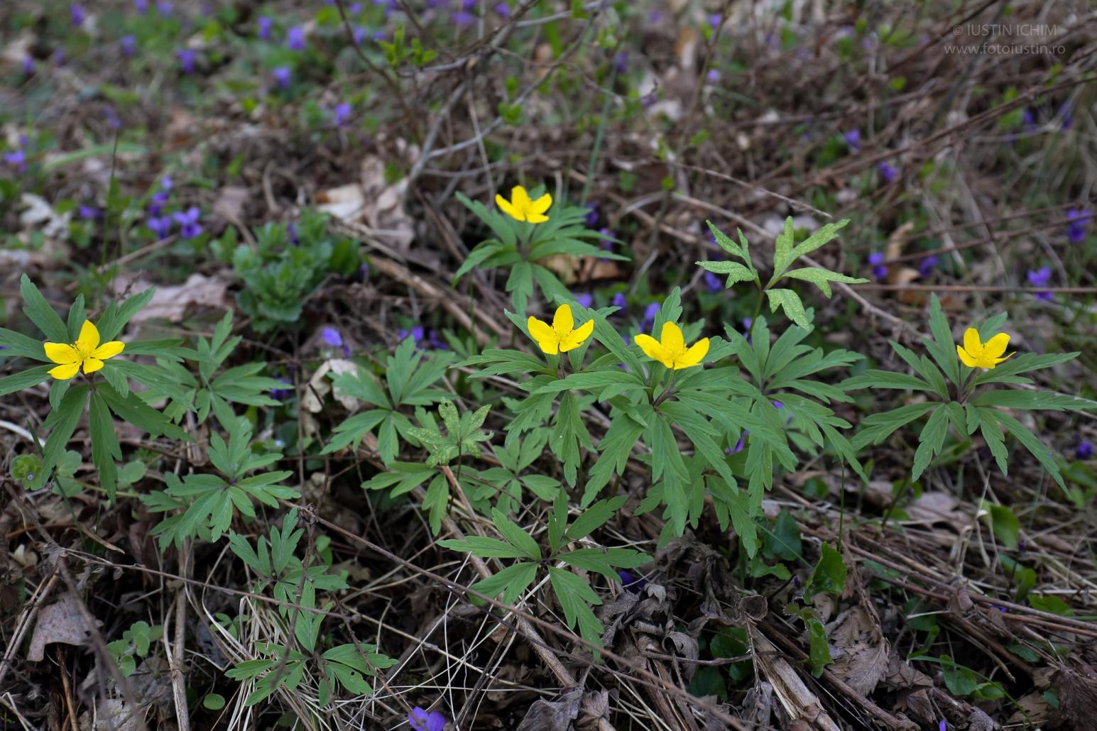 Anemone ranunculoides, păștiță, fam. Ranunculaceae