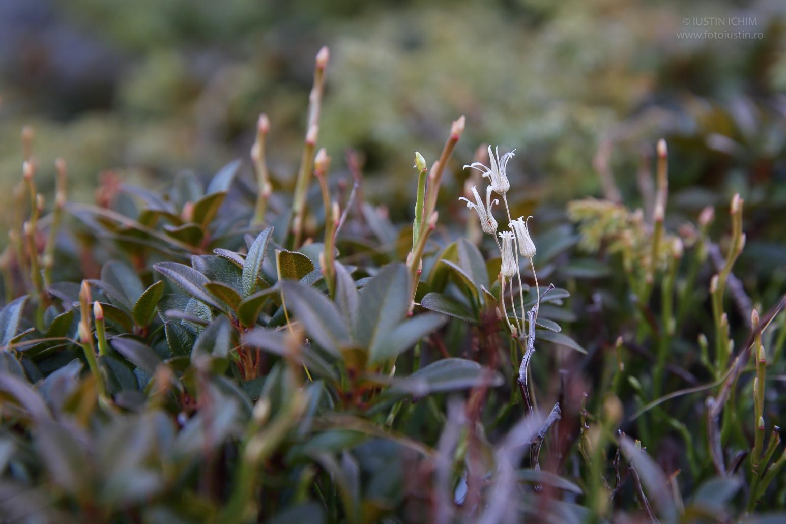 Rhododendron myrtifolium, Smârdarul, Bujorul de munte