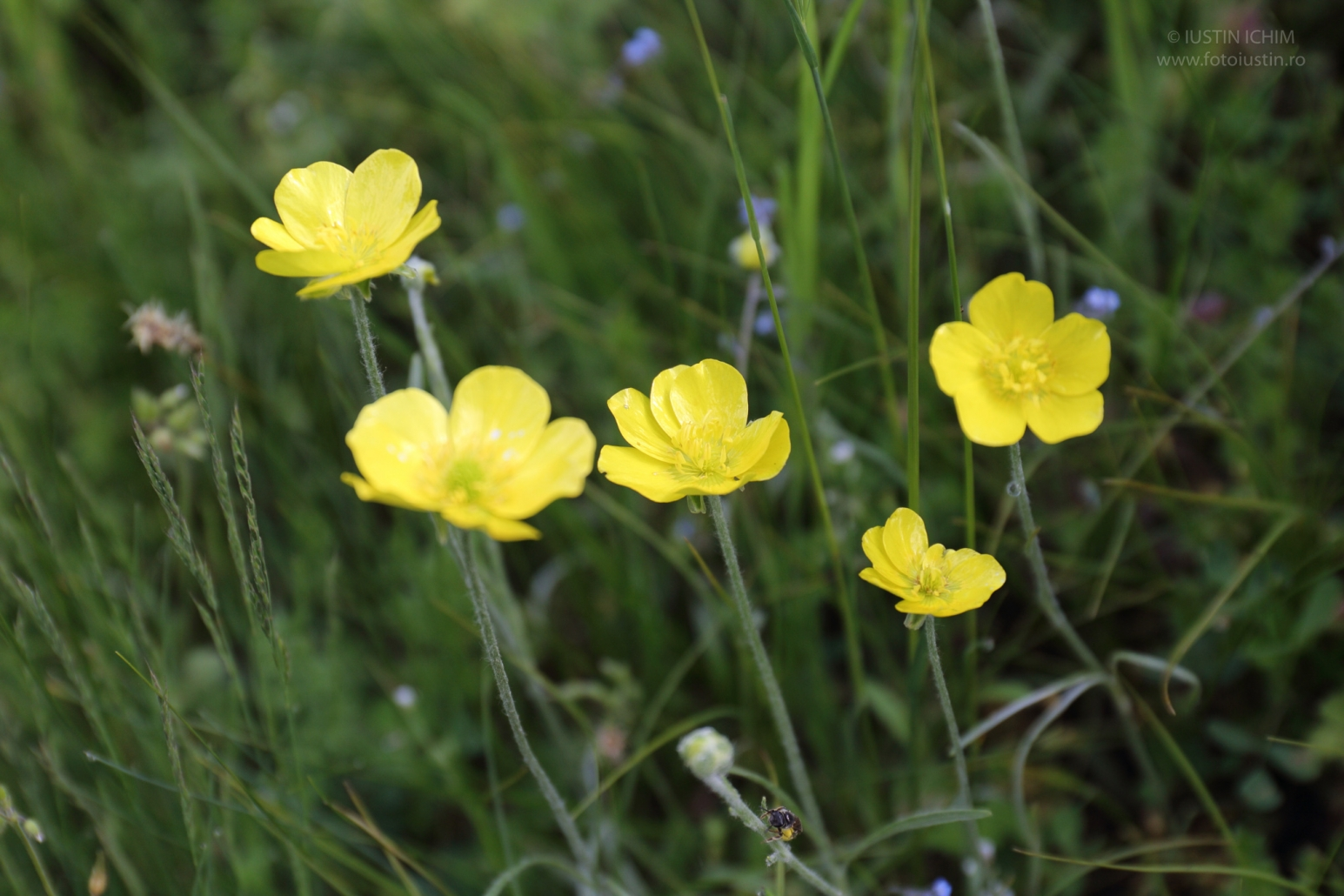 Ranunculus species