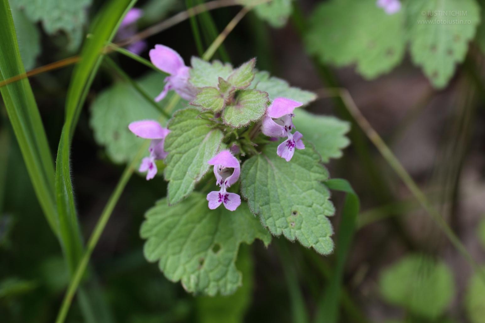 Lamium purpureum, Urzica moartă