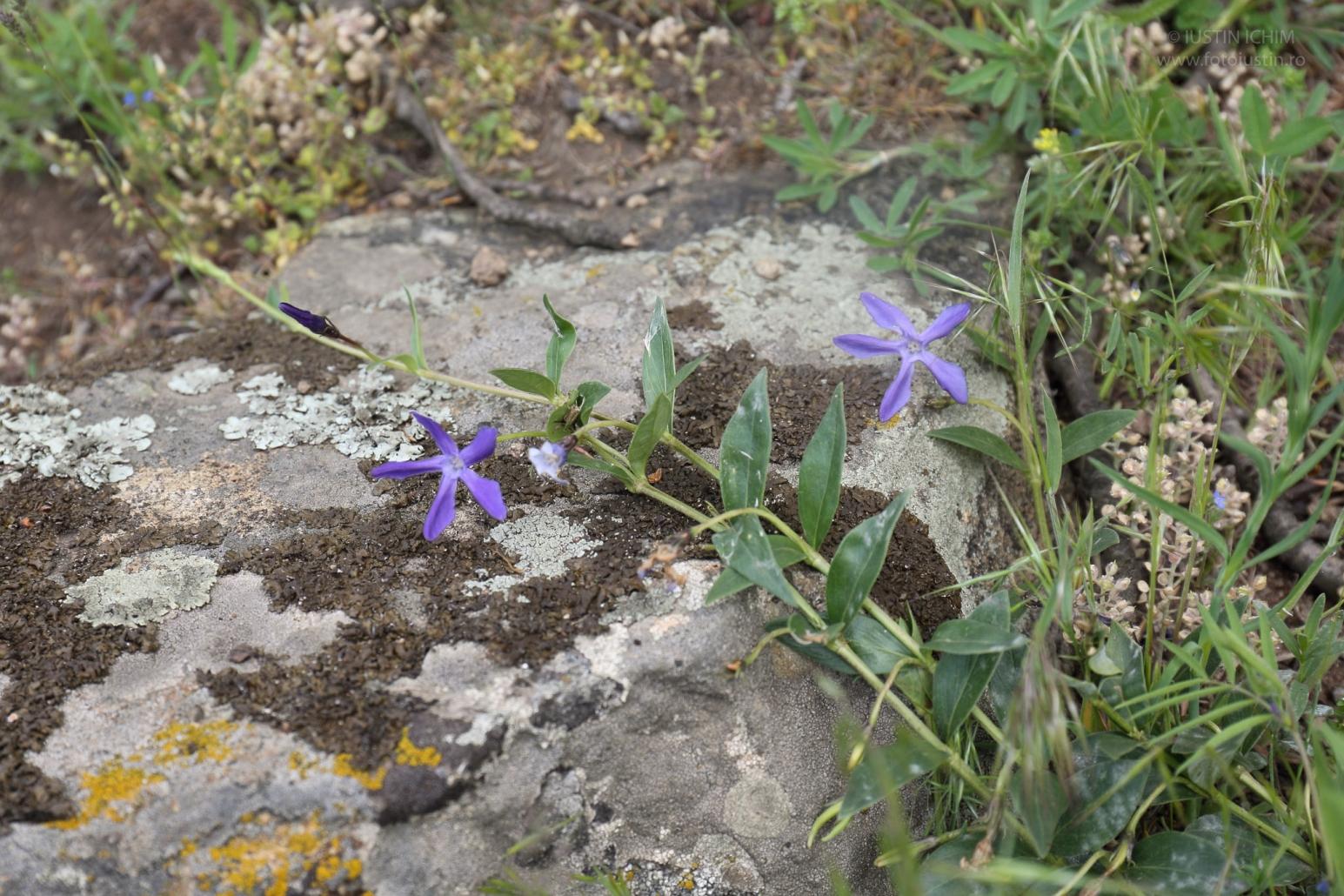 Vinca herbacea, Saschiu