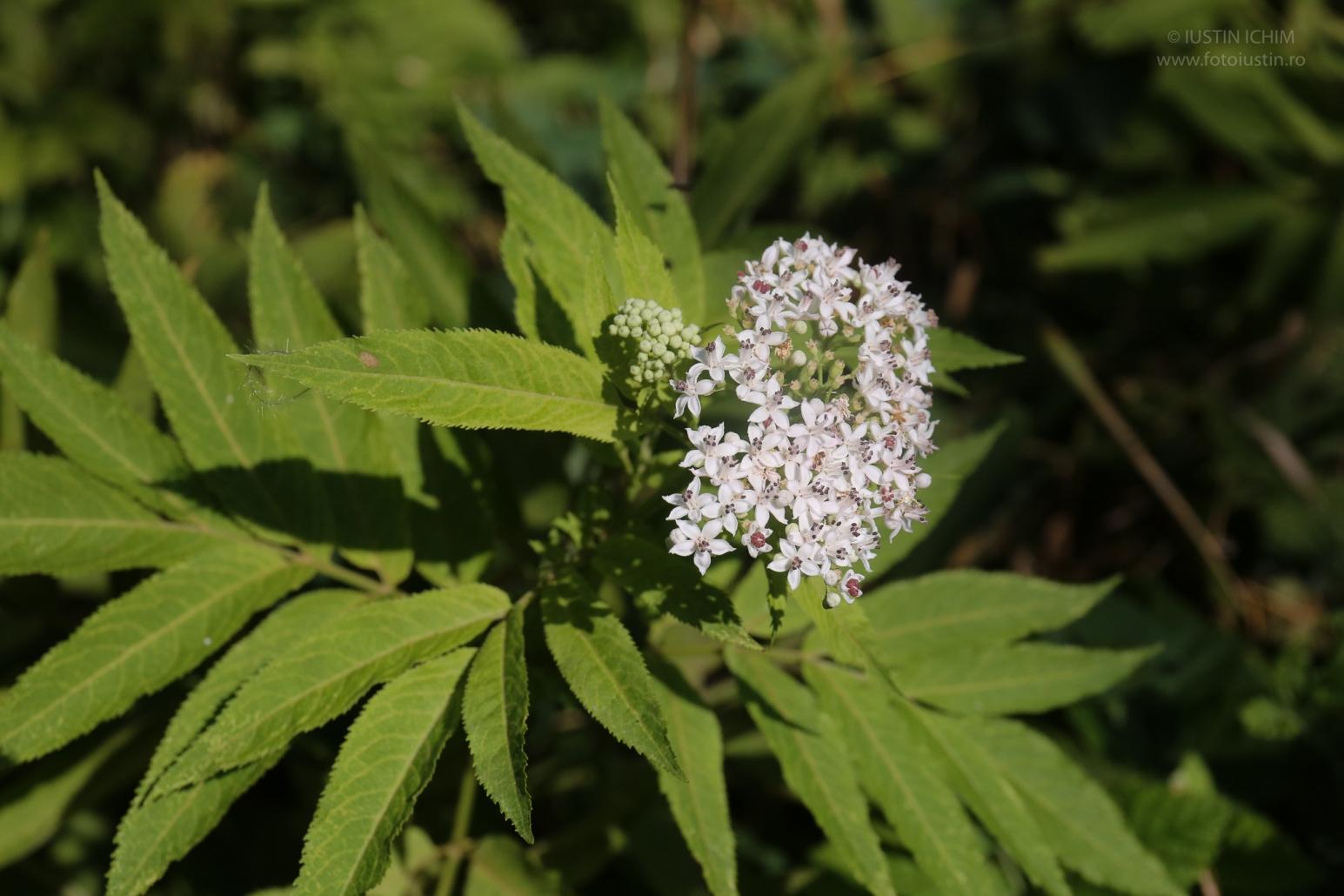 Sambucus ebulus, Bozul, plantă medicinală, toxică!