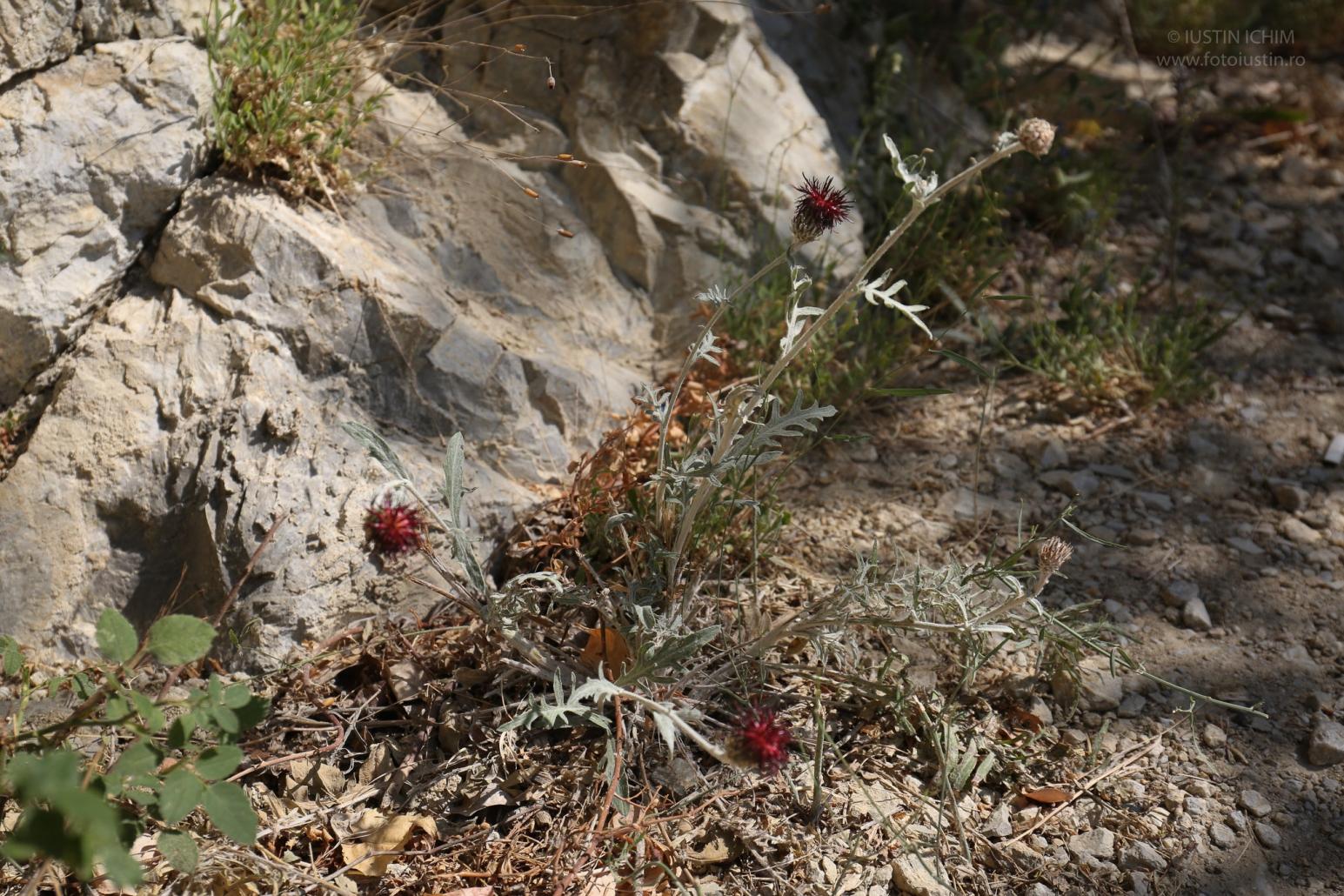 Centaurea calocephala, in Cheile Nerei