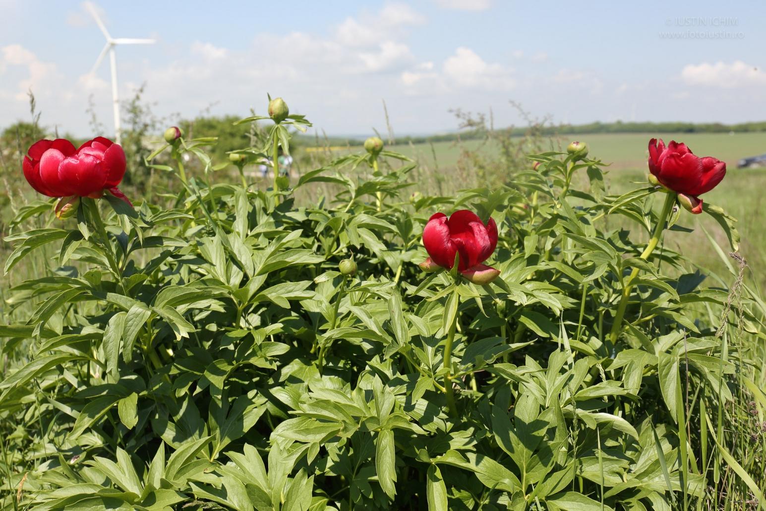 Bujorul sălbatic românesc, Paeonia peregrina Mill. var. romanica, Dobrogea