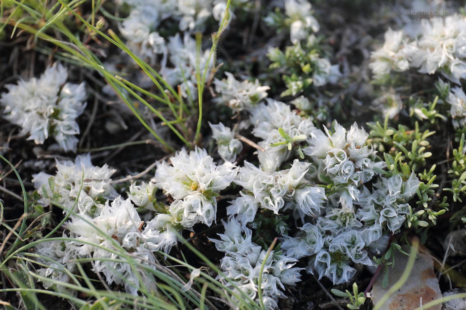 Paronychia cephalotes, Cheile Dobrogei