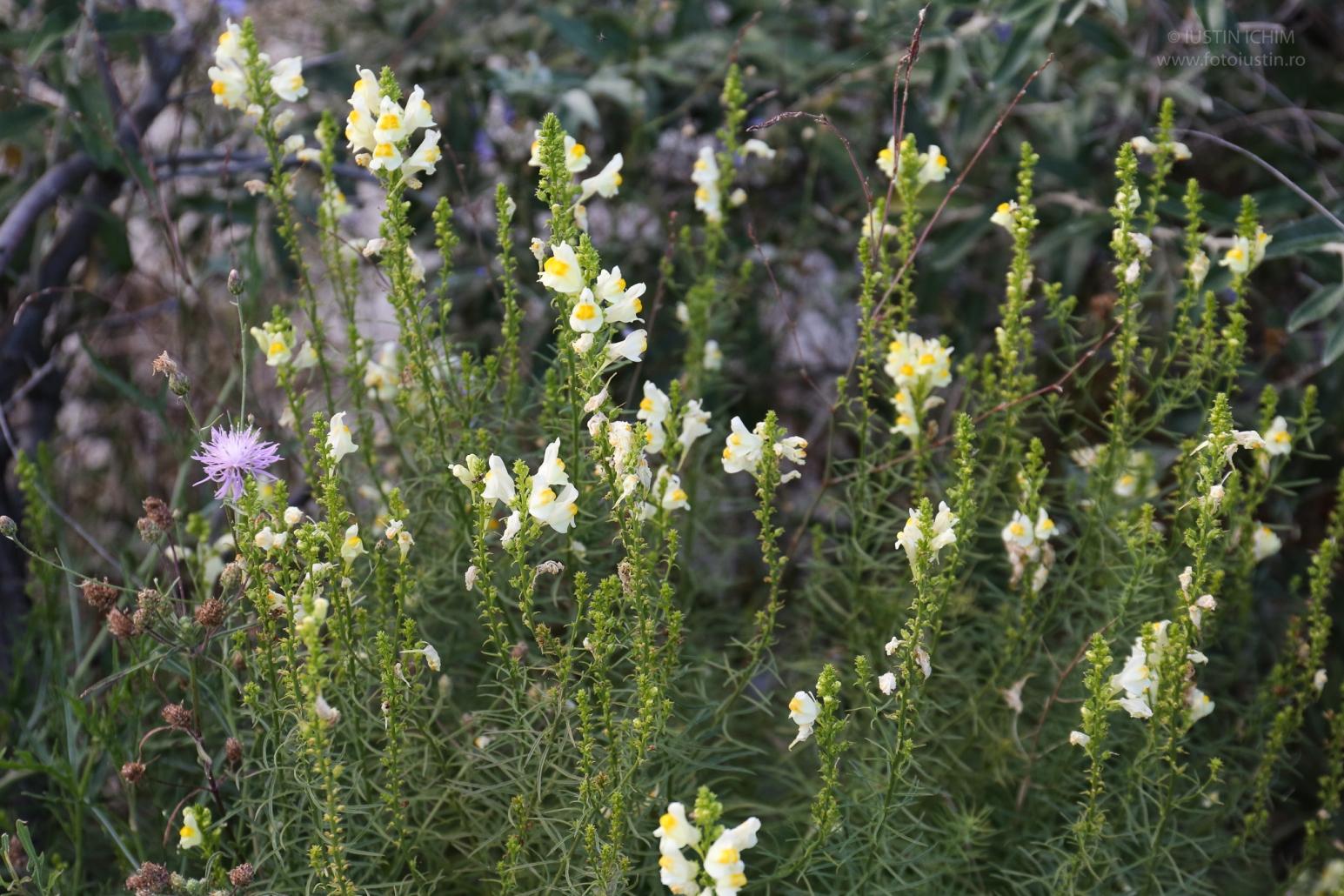 Linaria vulgaris, Linăriță, plantă medicinală!