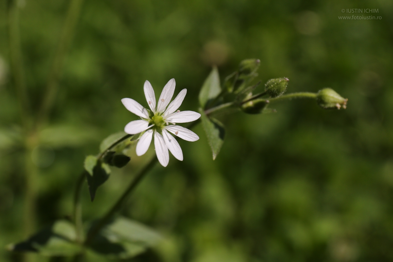 Stellaria graminea, Rocoțea
