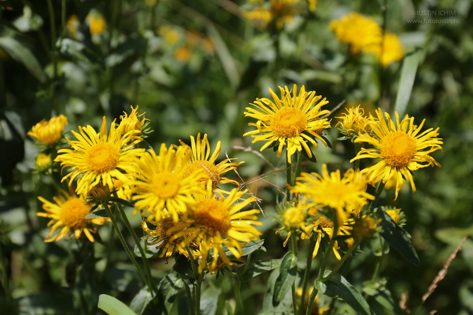 Inula helenium, Iarbă mare, Plante medicinale