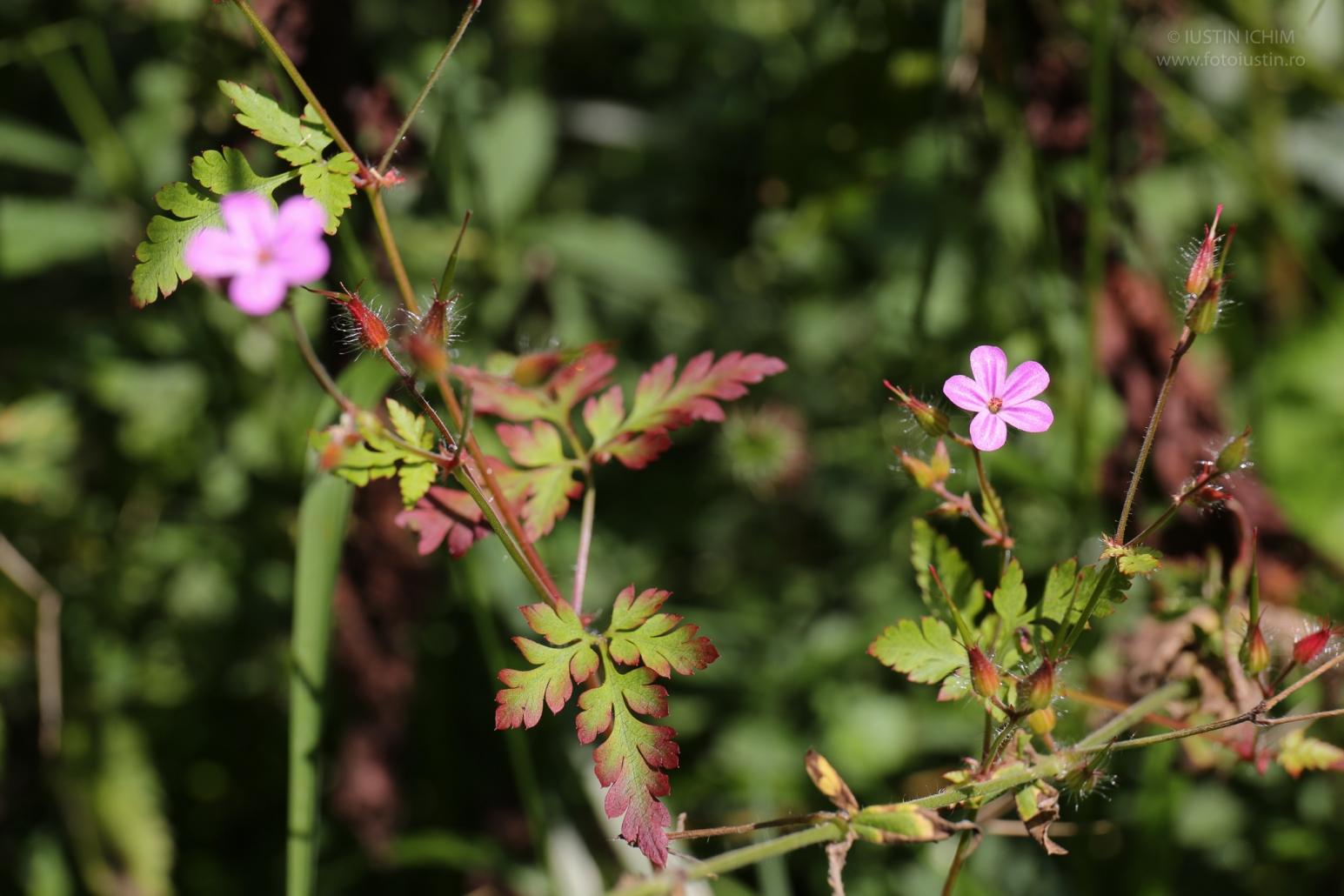 Geranium robertianum, Năprasnic