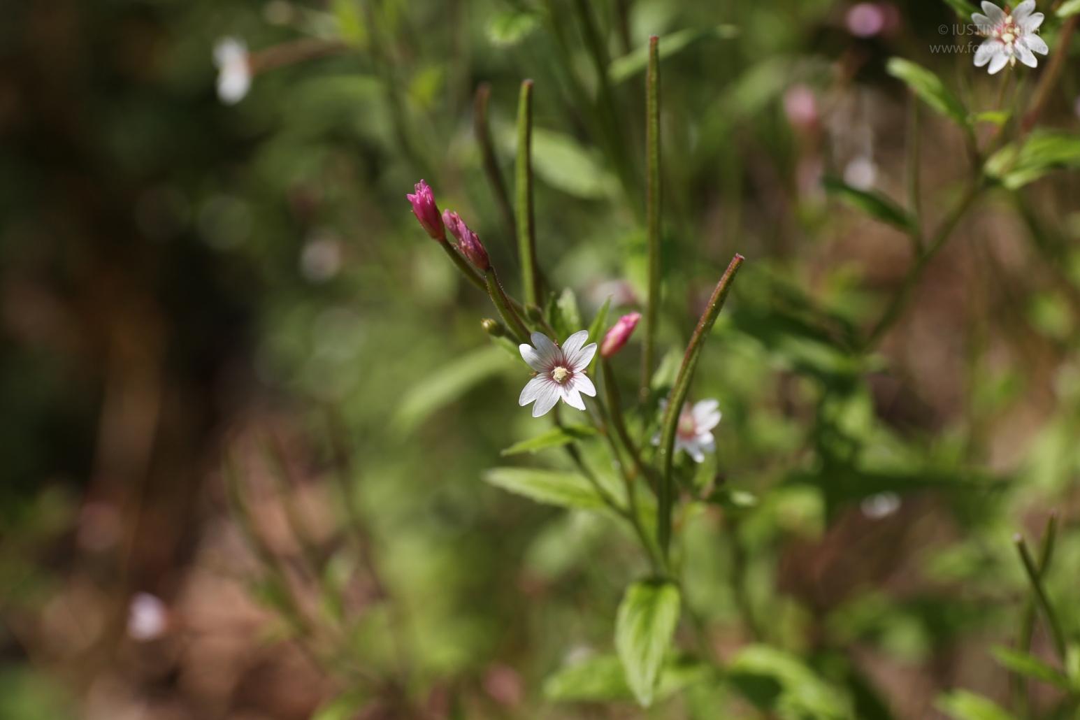 Epilobium montanum