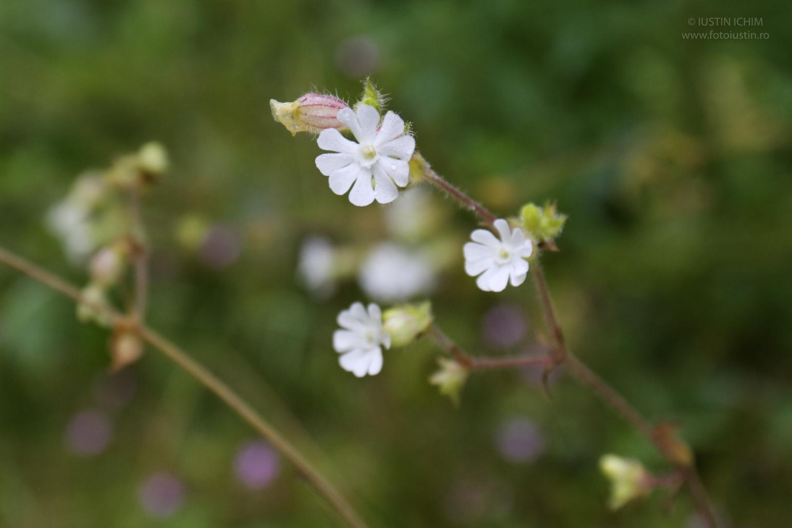 Silene latifolia, Opăiţă albă