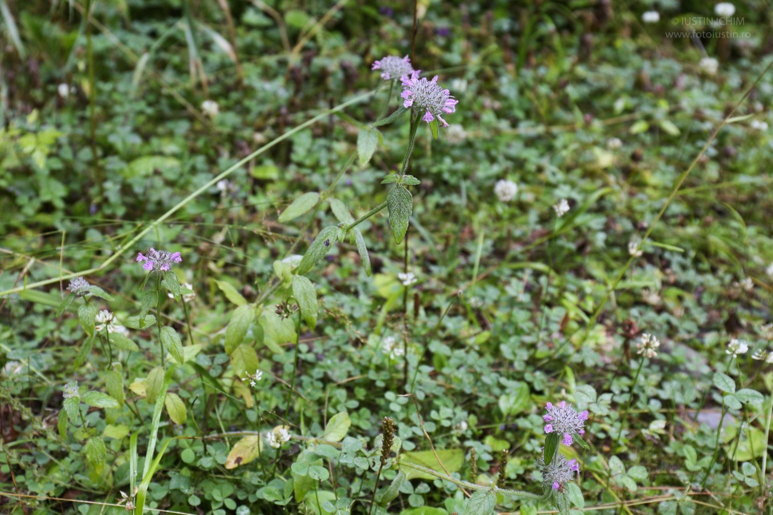 Clinopodium vulgare, busuiocul sălbatic