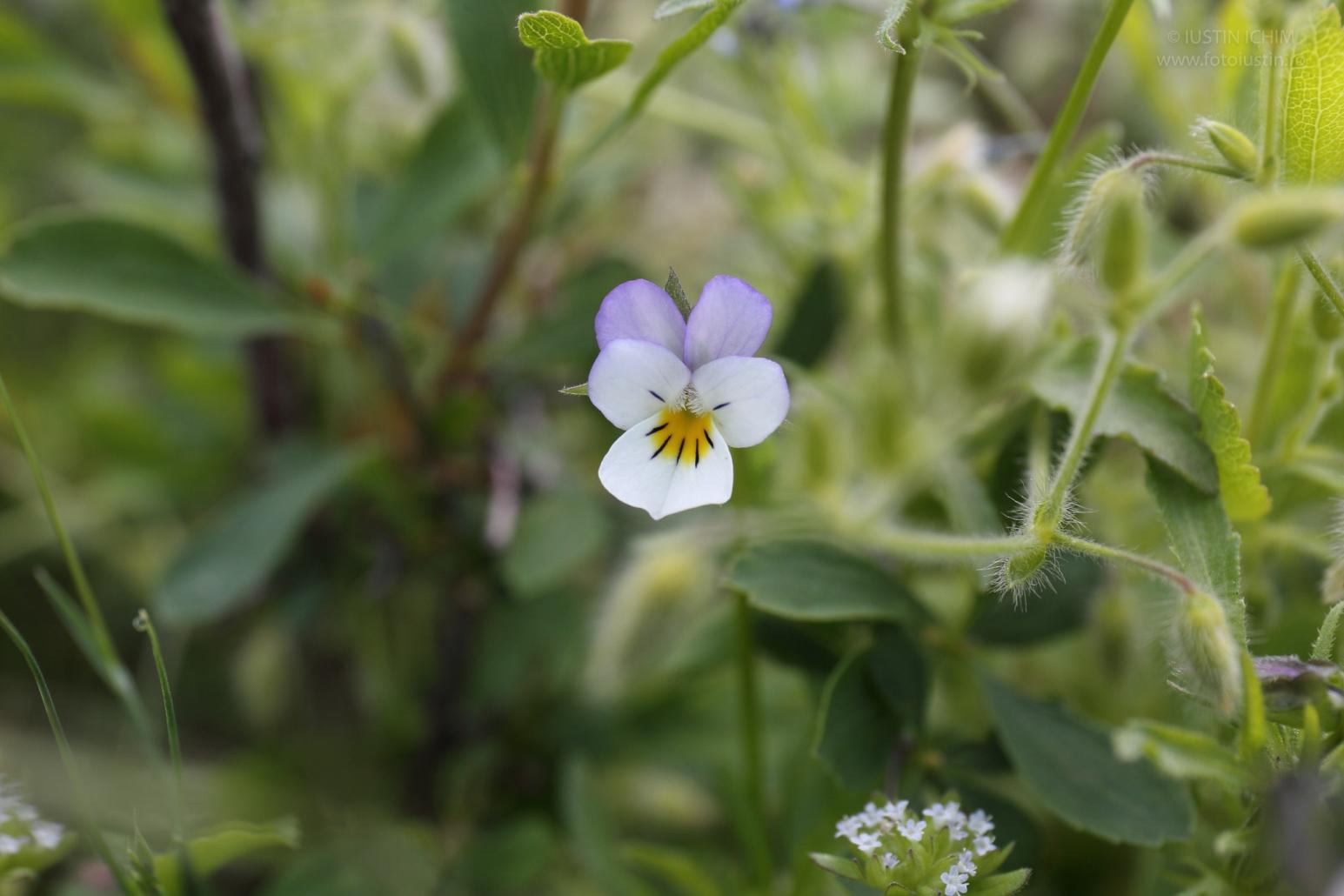 Viola arvensis, Trei fraţi pătaţi